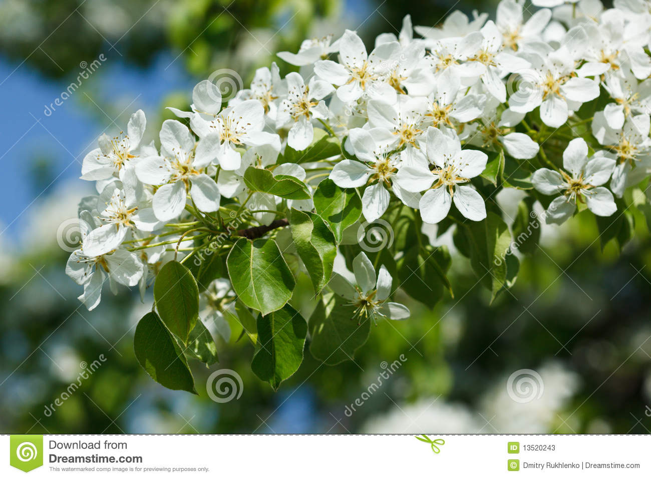 Stock photos apple tree blossoming branch