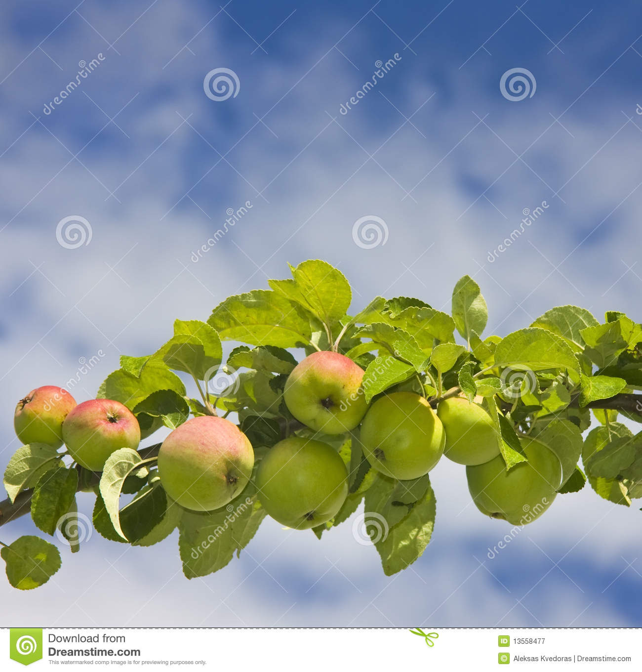 Royalty free stock photography apple tree branch