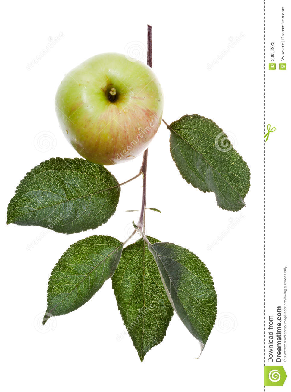 Apple Tree Branch With Green Leaves Stock Photo Image ofGreen Apple Tree Leaves