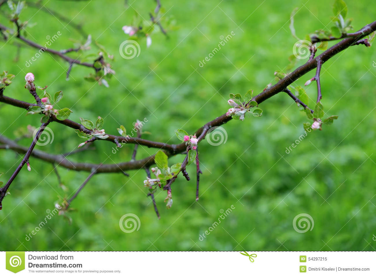 Apple Tree Branch With Small Flowers Stock Image Image Of Leaves