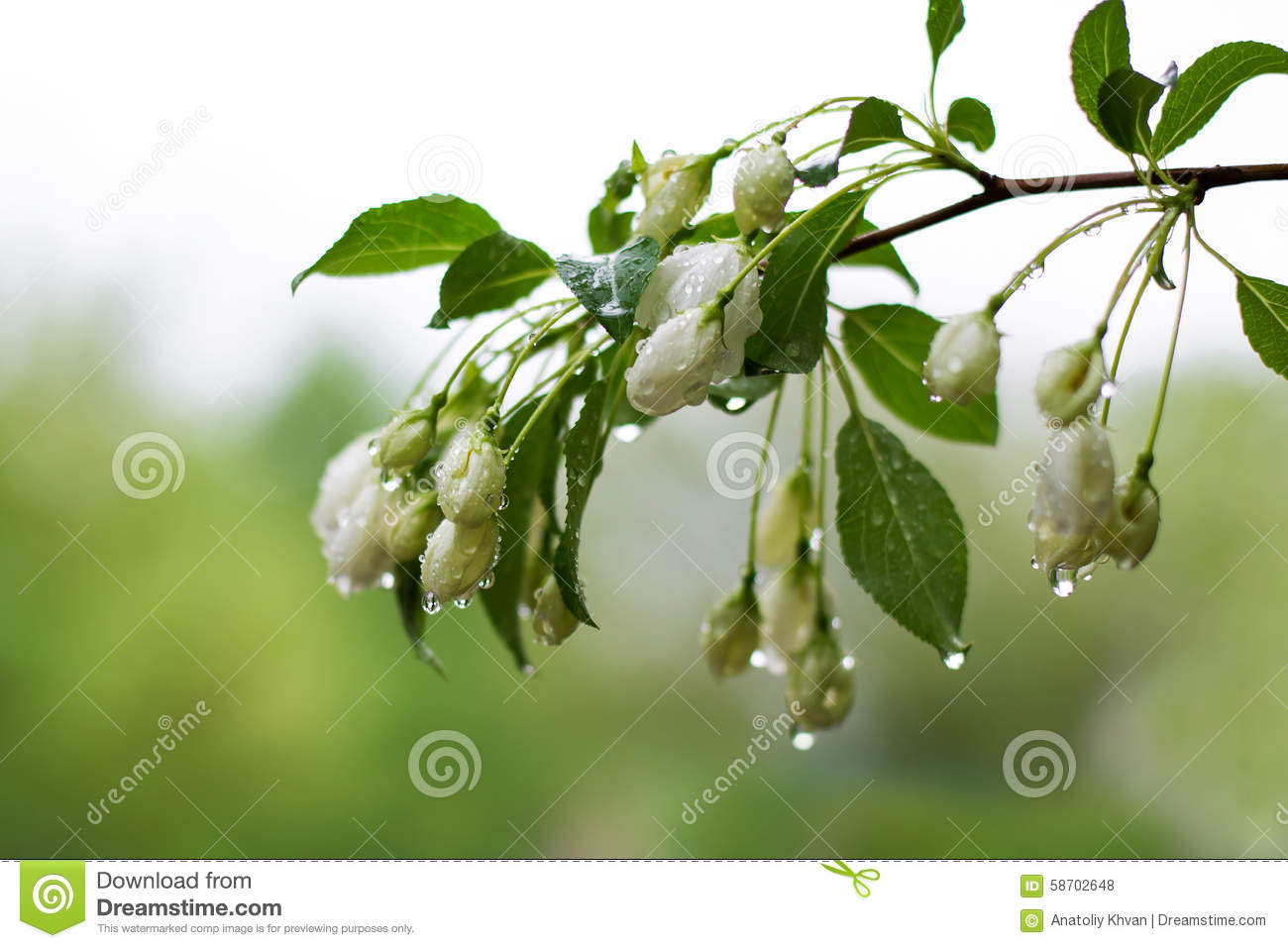 Apple Tree Branch With White Flowers With Water Drops After A Rain