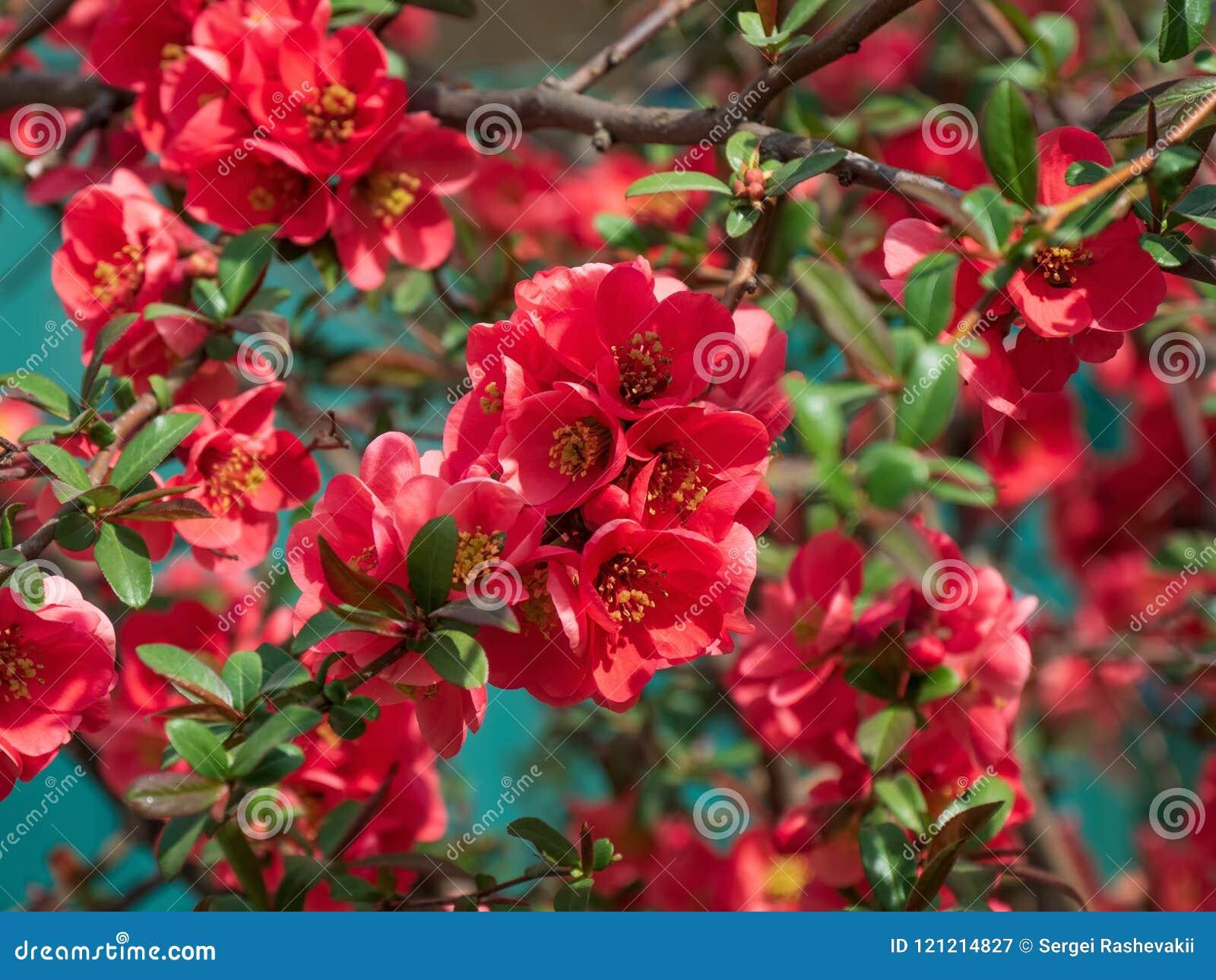 Apple Tree Decorative Makamik Sergeant Plum Blossom Blooms Pink