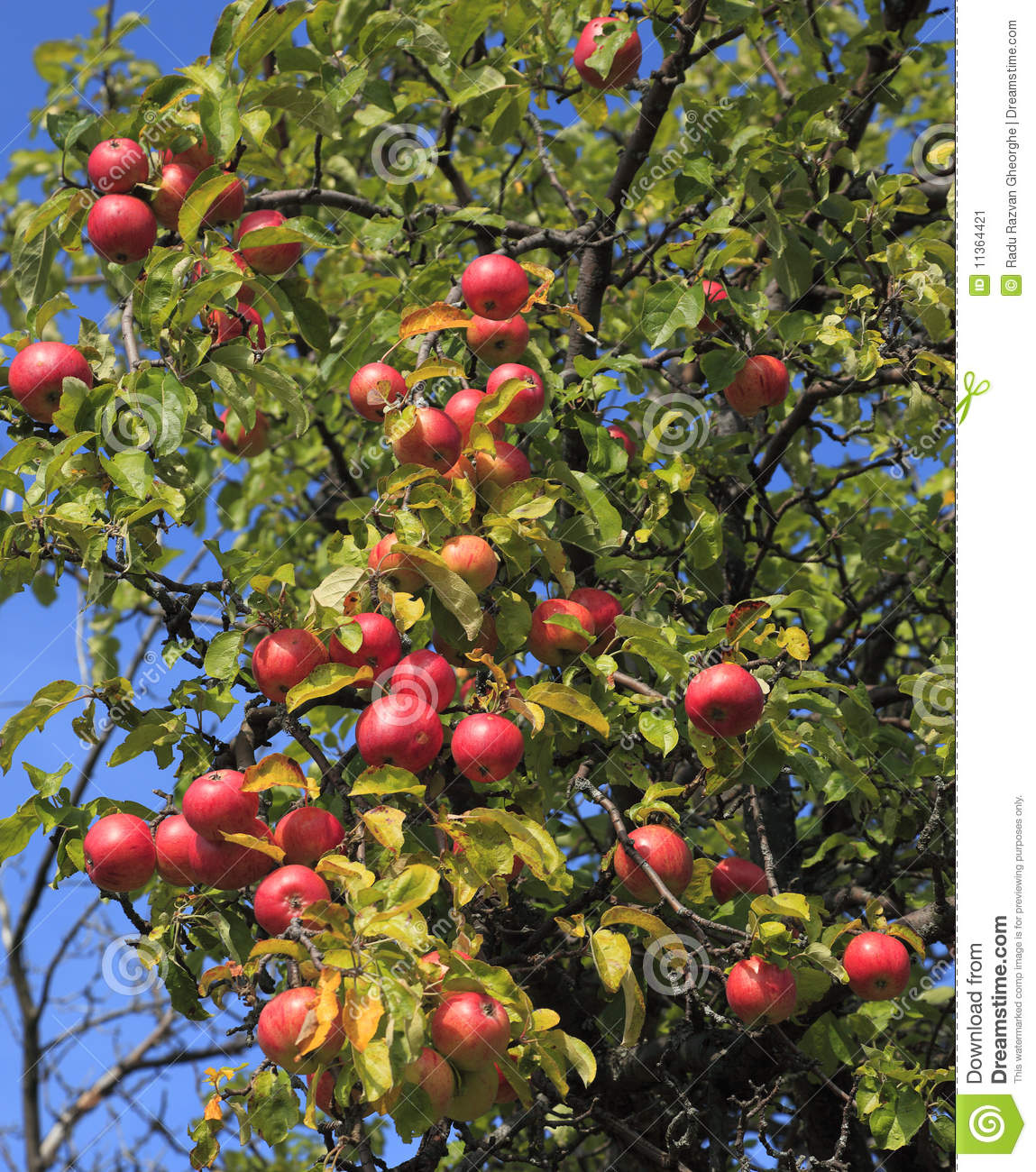 Apple Tree Detail Stock Image Image Of Fruit Fresh 11364421
