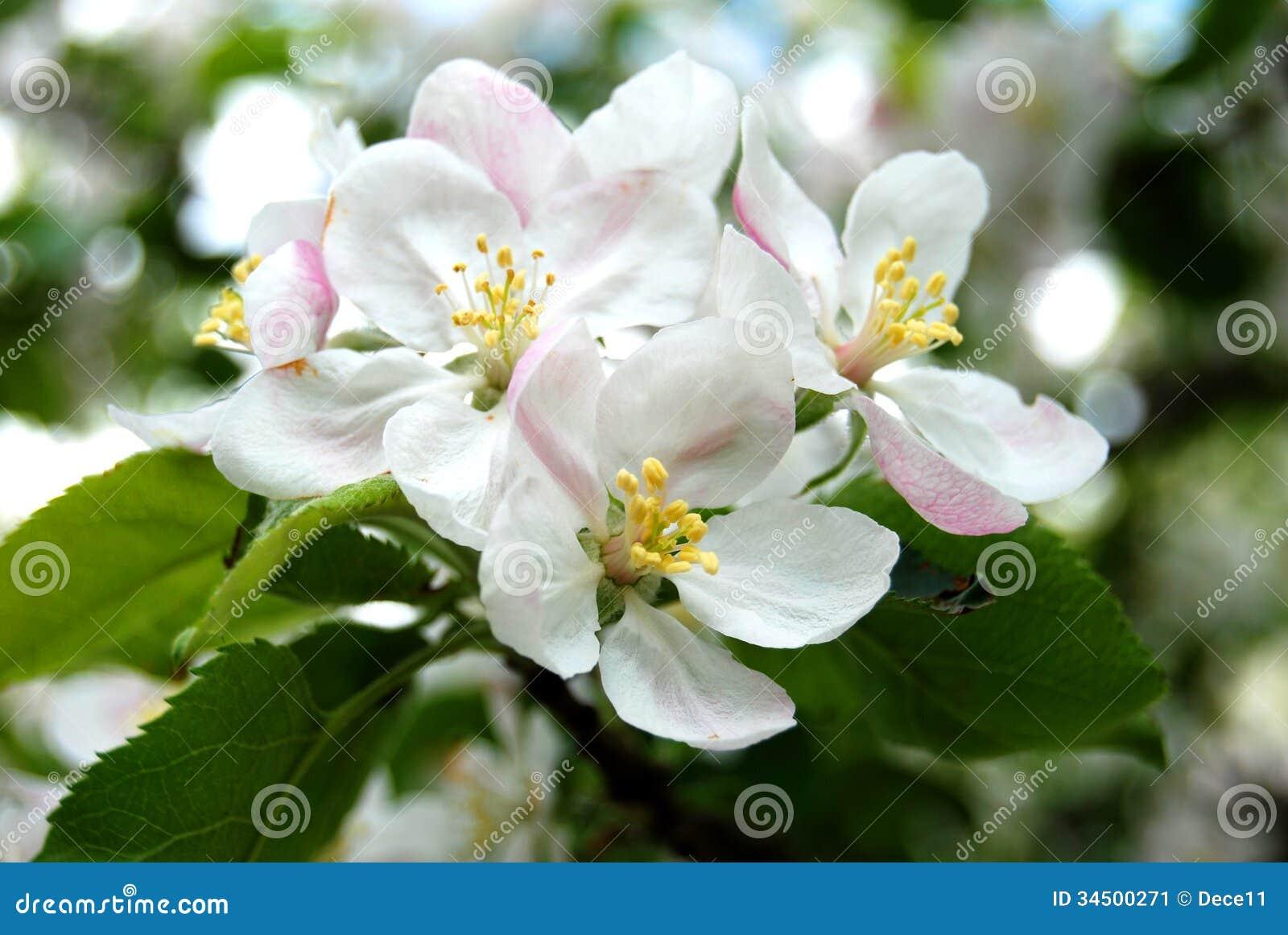 Apple Tree Flower Stock Image - Image: 34500271