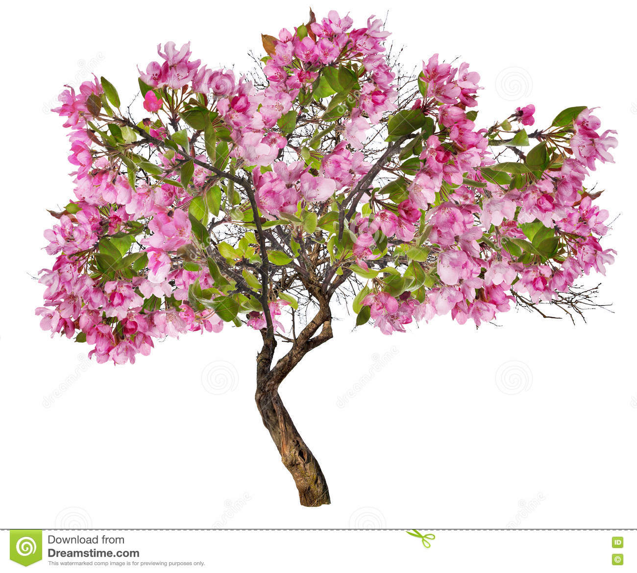 Apple tree with large pink blooms on white stock photo image of download apple tree with large pink blooms on white stock photo image of nature mightylinksfo