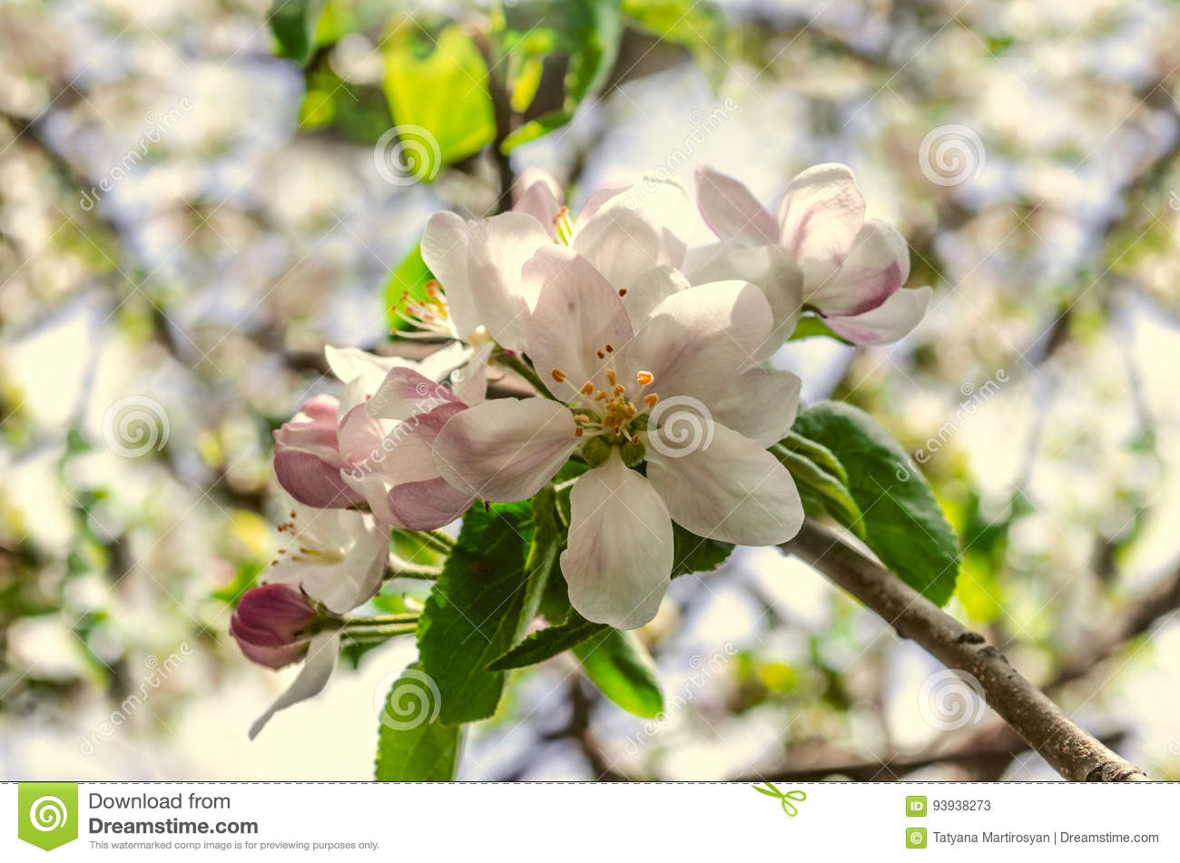 Apple Tree With Large Pink White Flowers Stock Image Image Of
