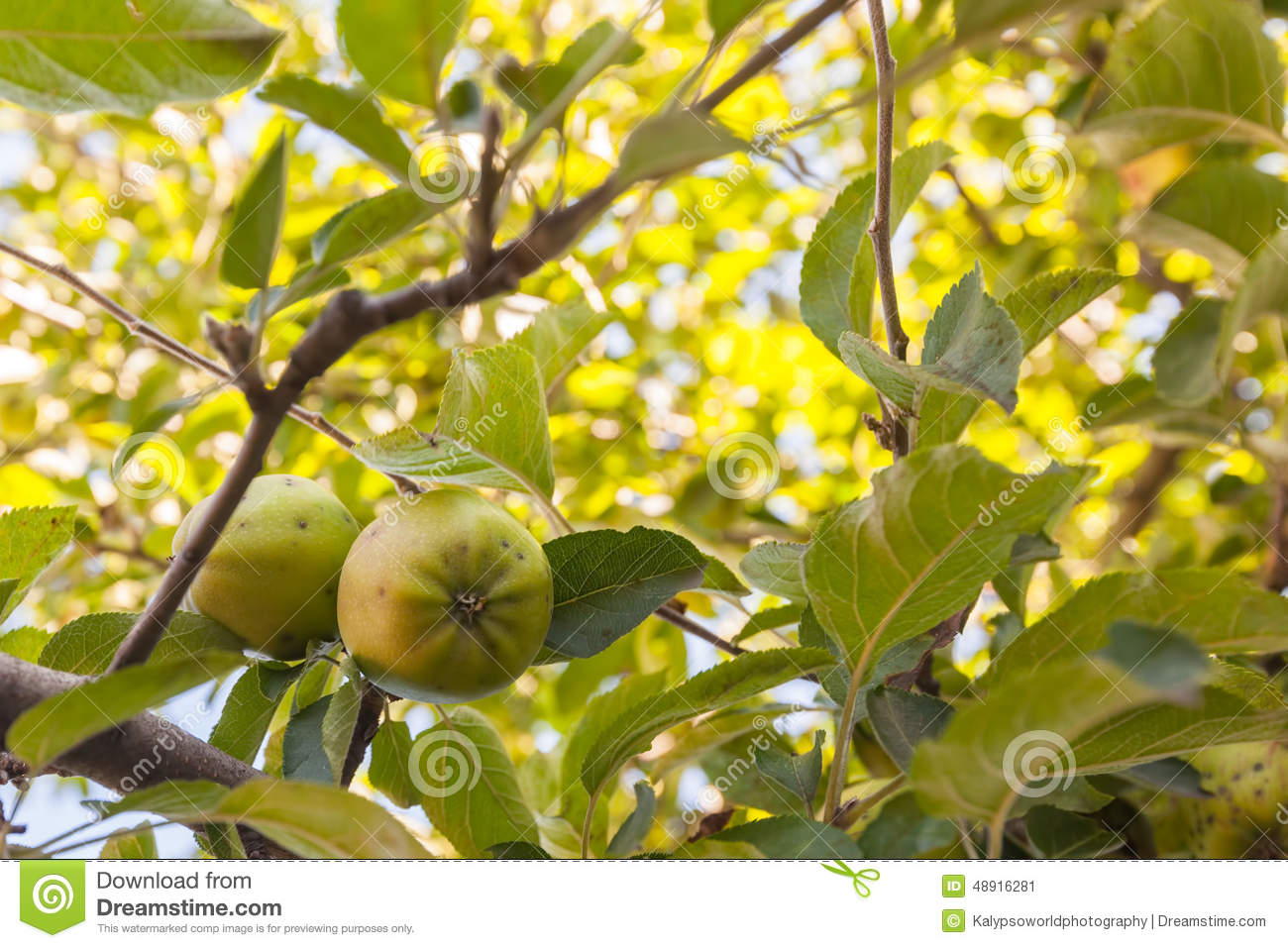 Apple Tree Romanian Horticulture East Europe Stock Photo Image 48916281
