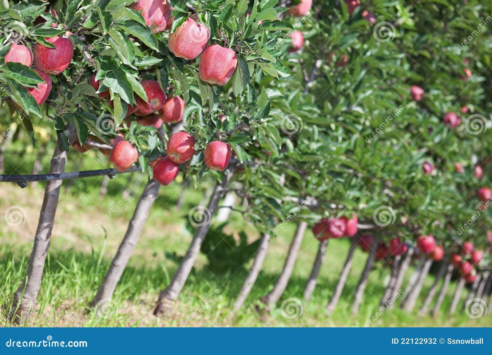 Apple Trees Stock Photo Image Of Garden Belt Hill