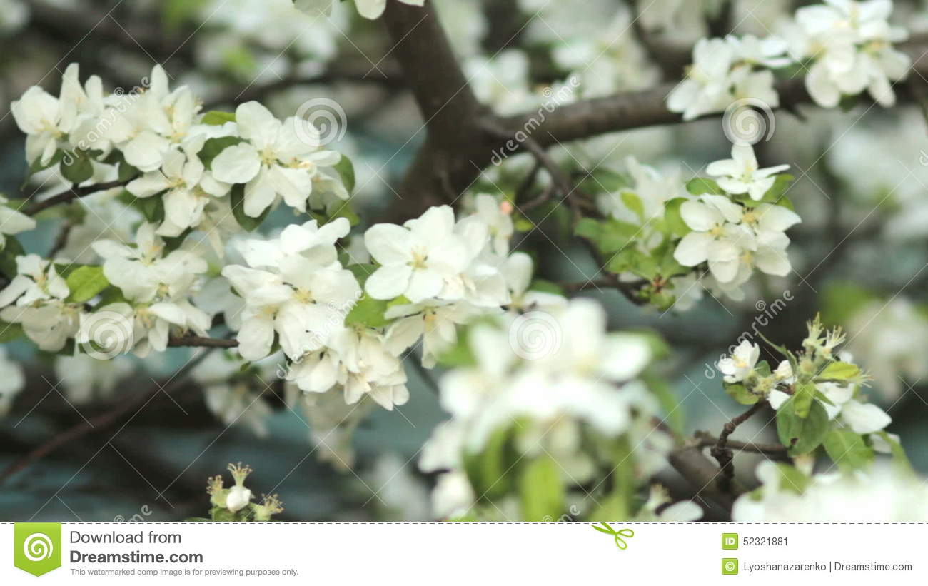 Apple trees blooming in spring nature awakening fruit garden in apple trees blooming in spring nature awakening fruit garden in blossom stock video video of blossom blowing 52321881 mightylinksfo