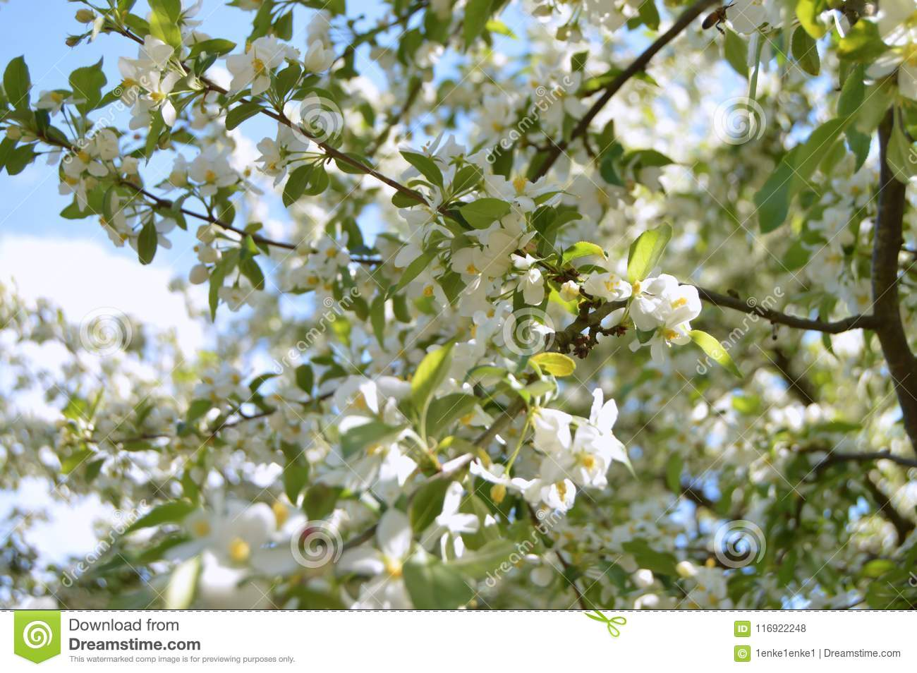The Apple Trees Are Blooming Stock Photo Image Of Fresh Bloom