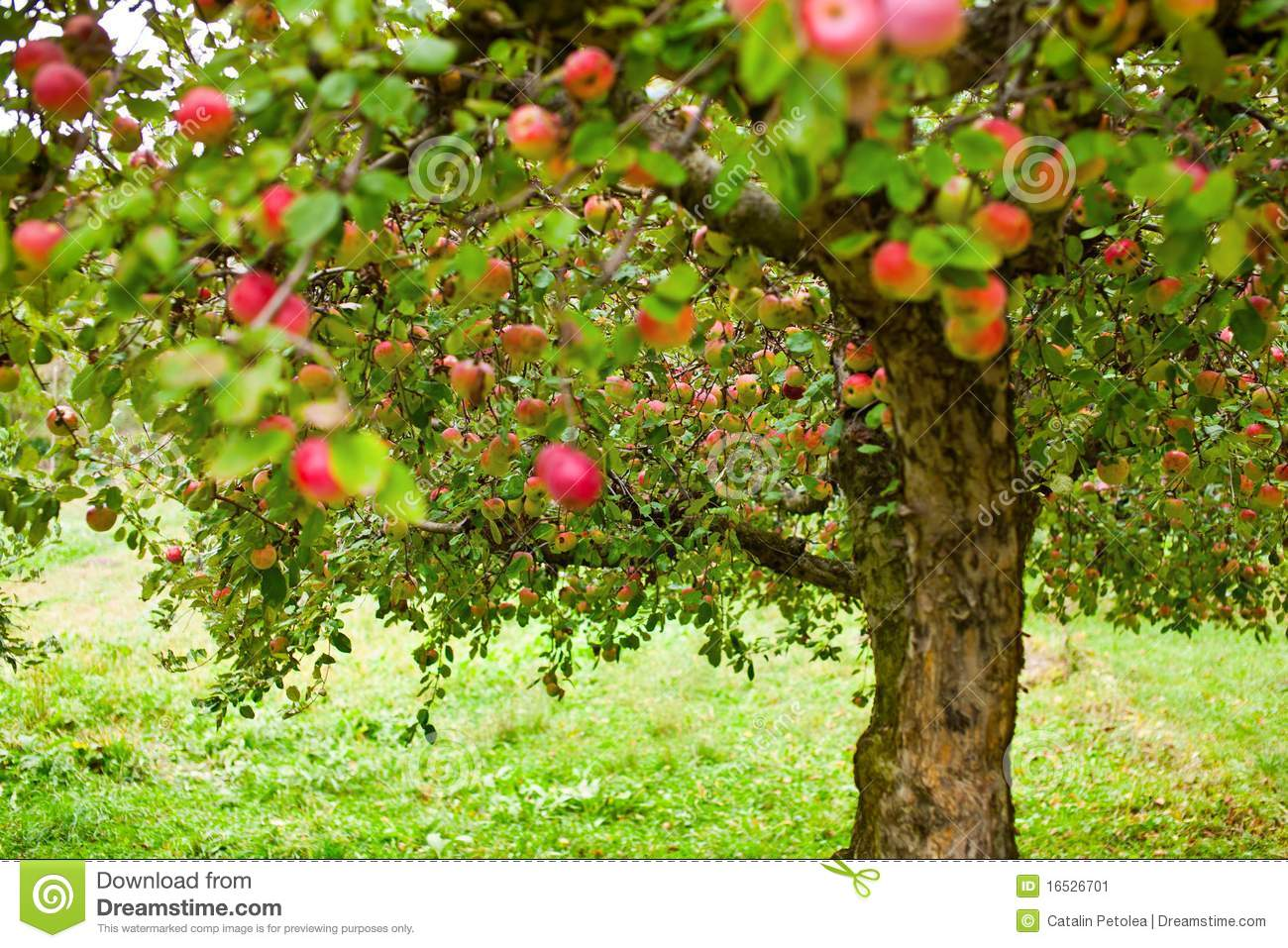 Apple Trees Orchard Stock Image - Image: 16526701