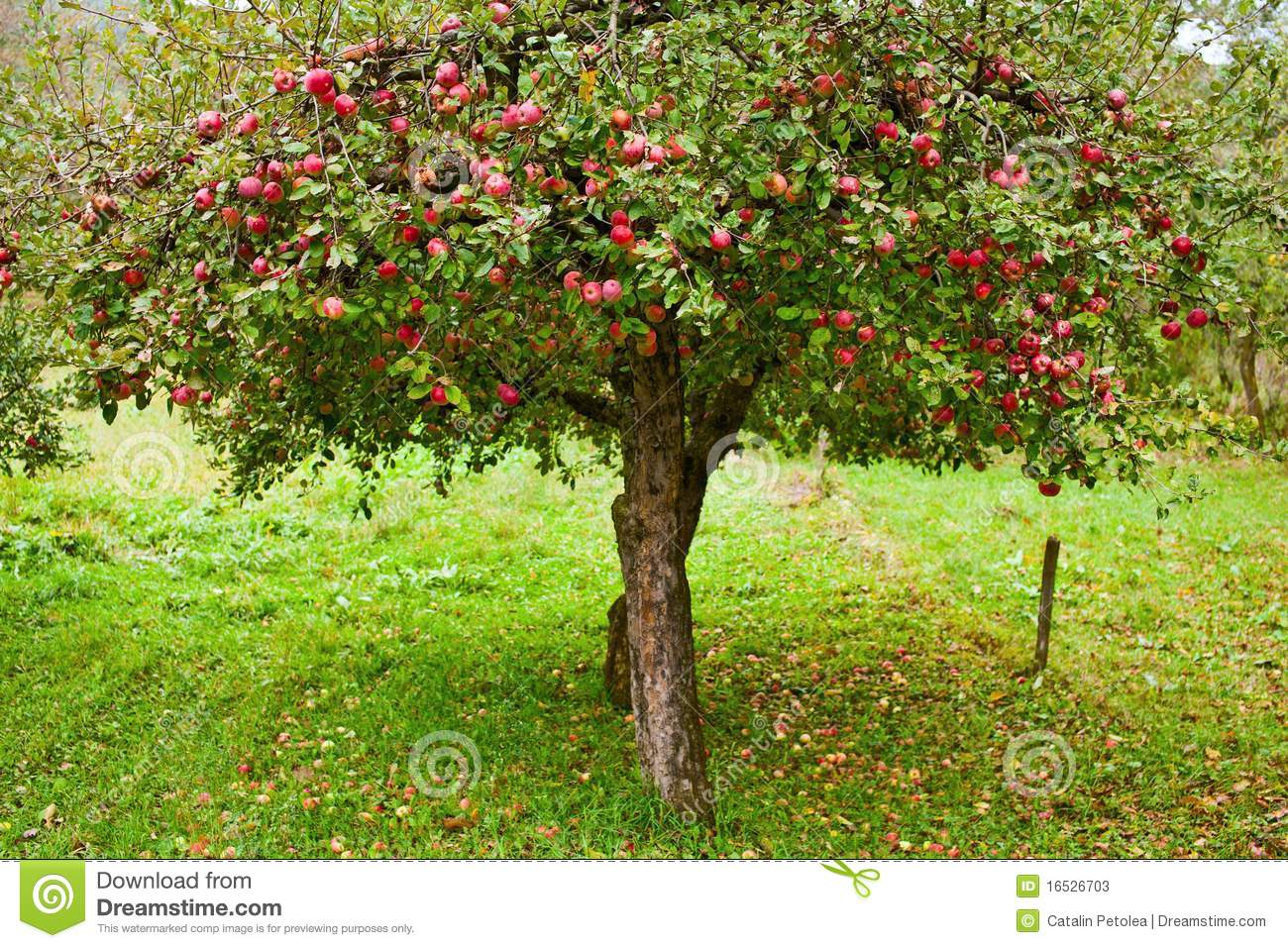 apple trees stock photos, images,  pictures  , images, Beautiful flower