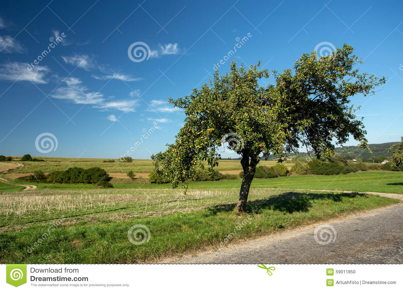 Apple verde no ramo de árvore