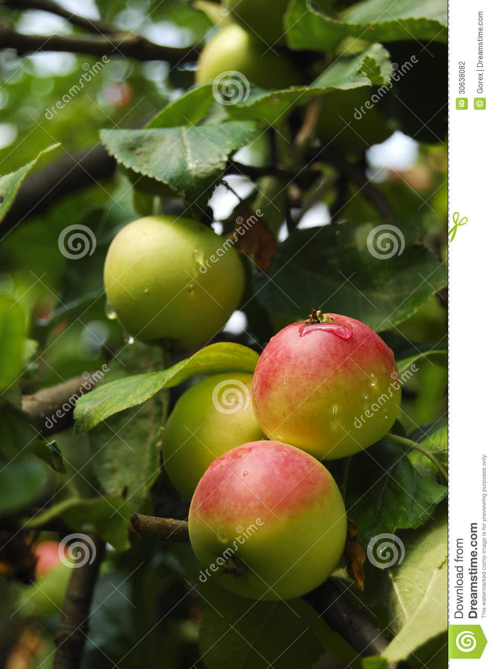 Apples On A Branch Stock Photography - Image: 30638082