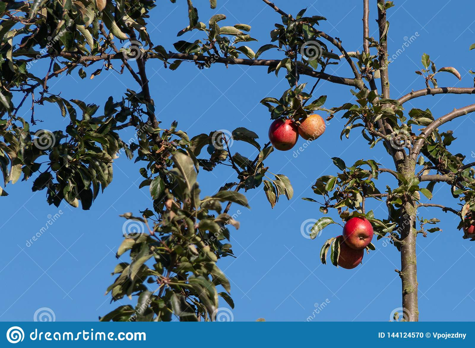 Apples on a tree in a garden