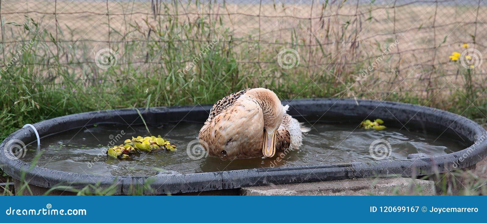 Appleyard Duck Bathing in Ton