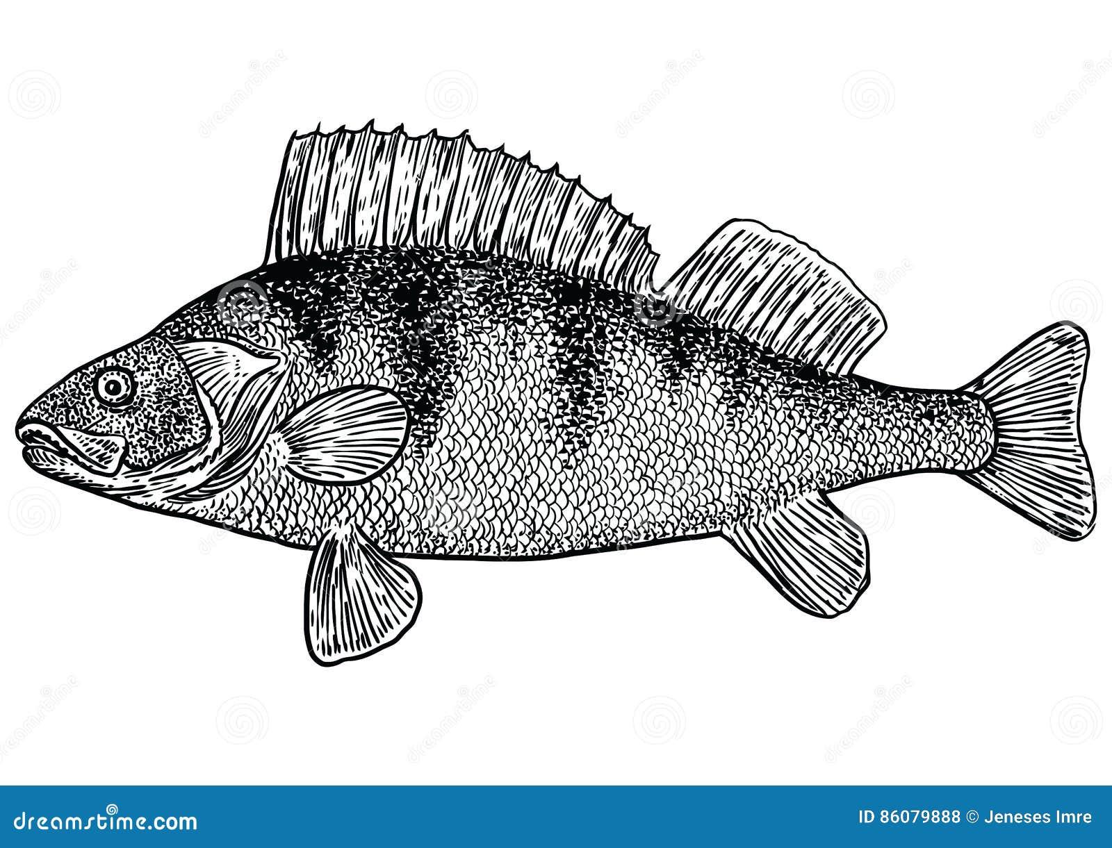 Appollai L Illustrazione Del Pesce Il Disegno L Incisione La