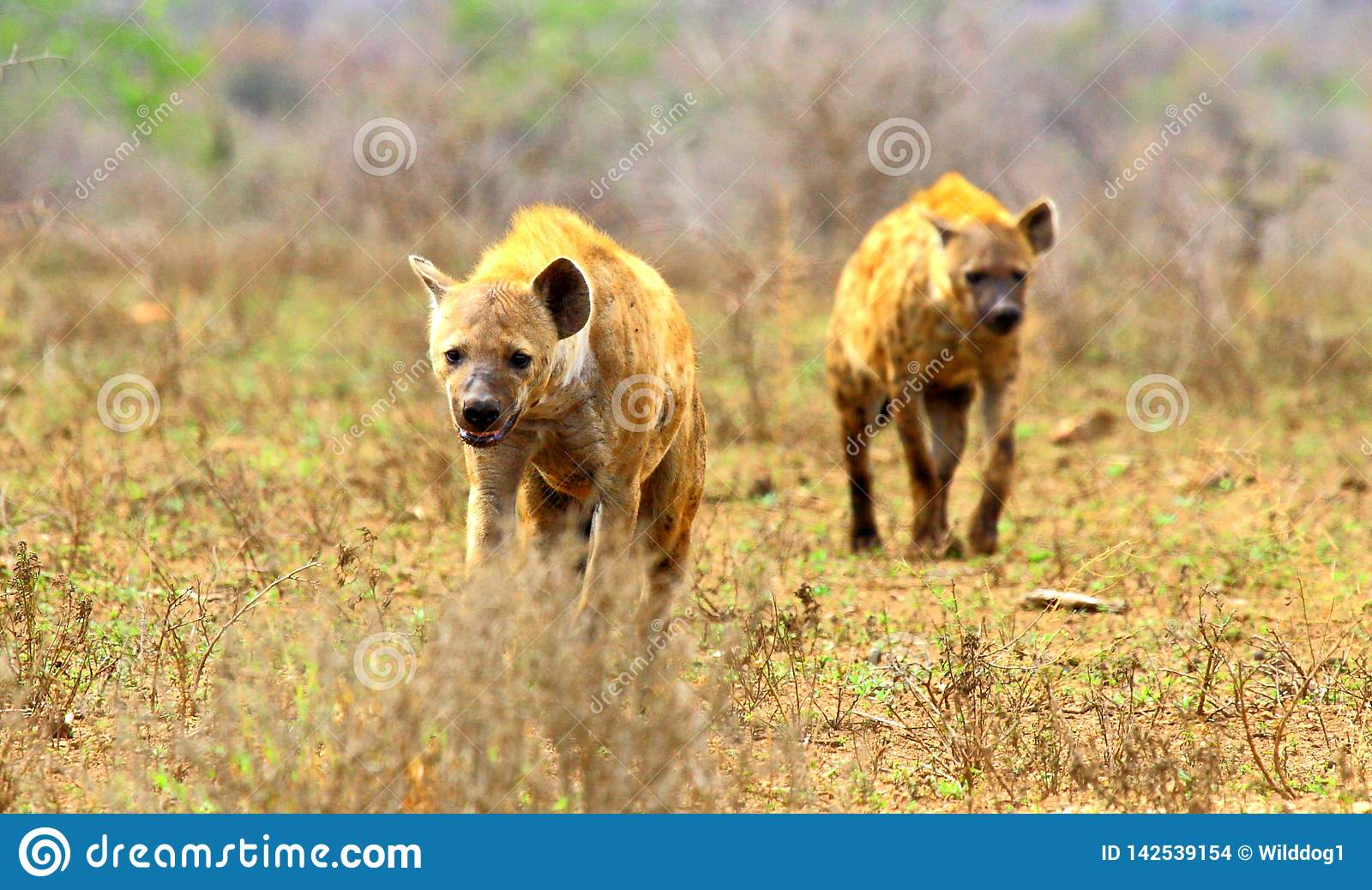 Approaching spotted hyenas