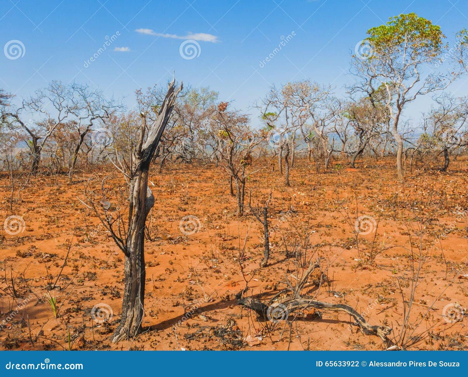 Après le feu de forêt dans la savane brésilienne
