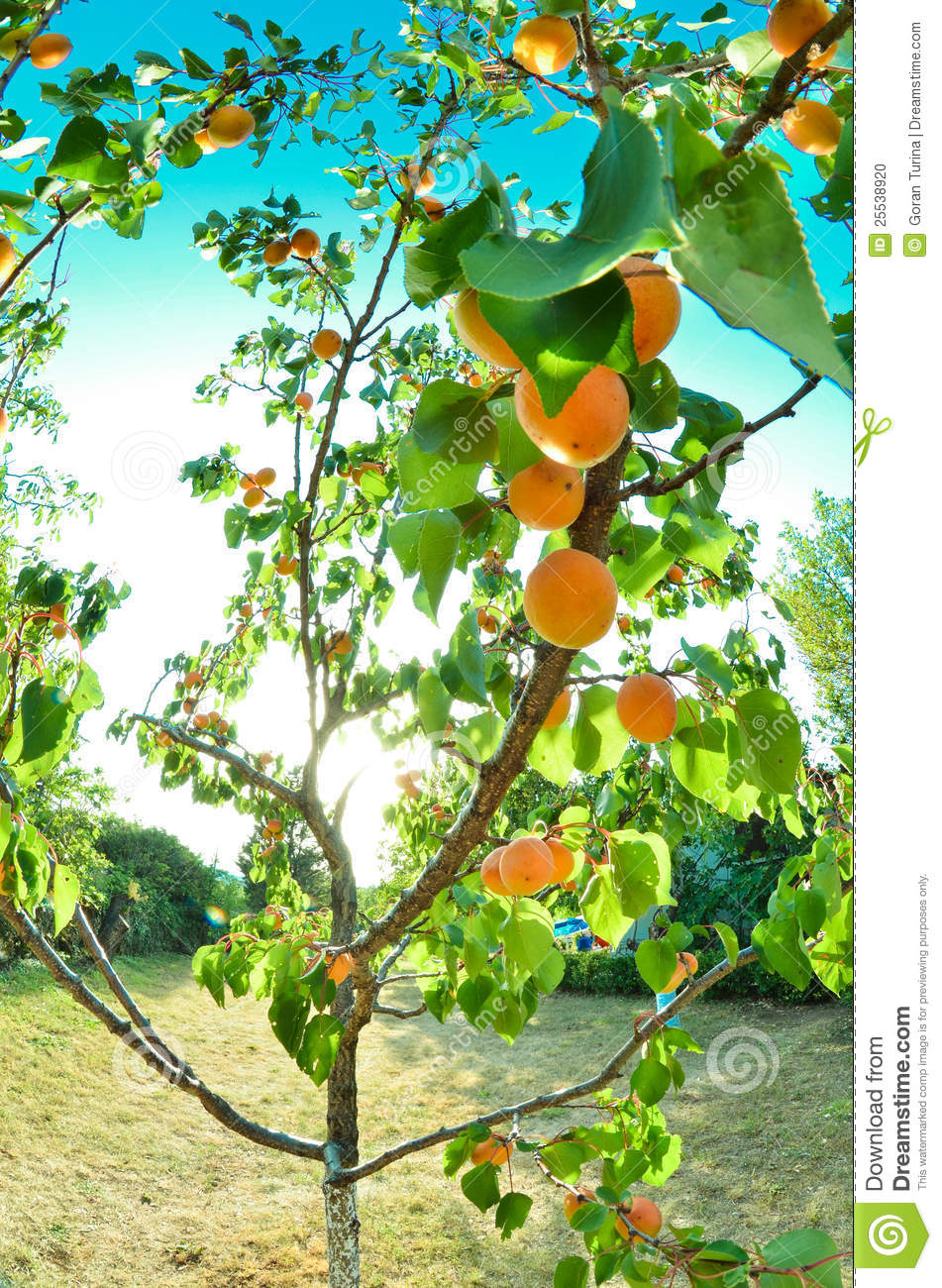 Apricot stock photo image 25538920 - Spring trimming orchard trees healthy ...