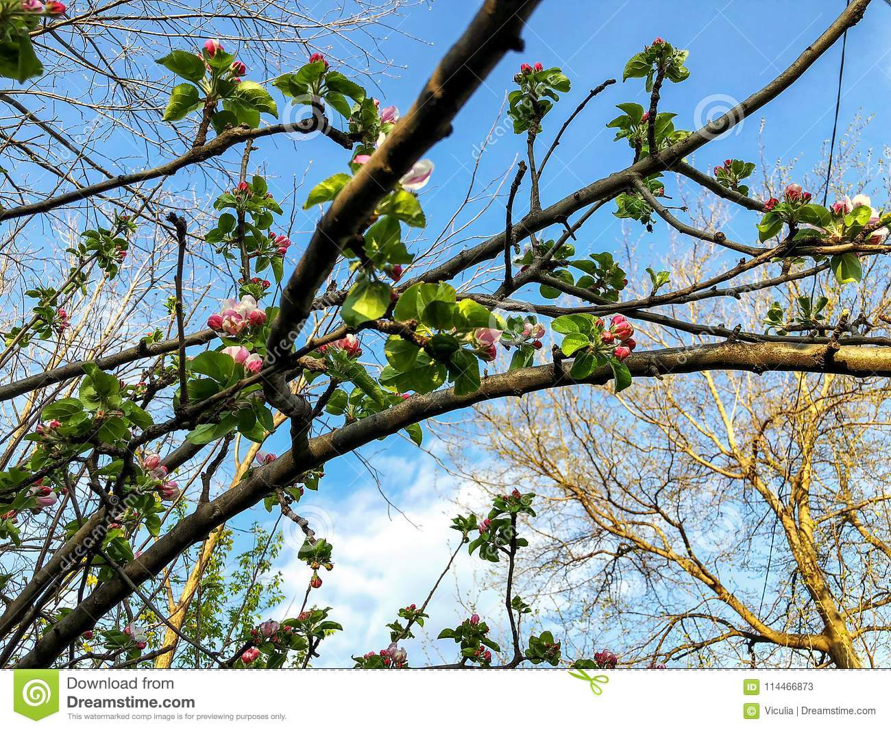Apricot Blossom Branch Close Up Spring Weather Sunny Sky