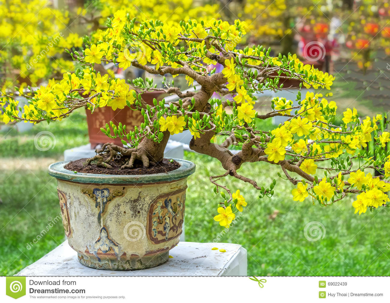 Apricot Bonsai Potted Trees Are Blooming Stock Photo ...