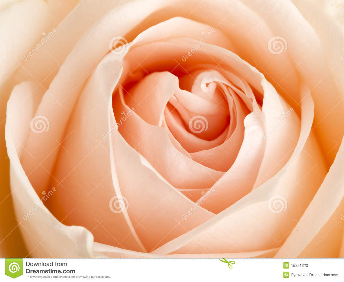 Apricot Colored Rose Close Up Stock Photos - Image: 15221323
