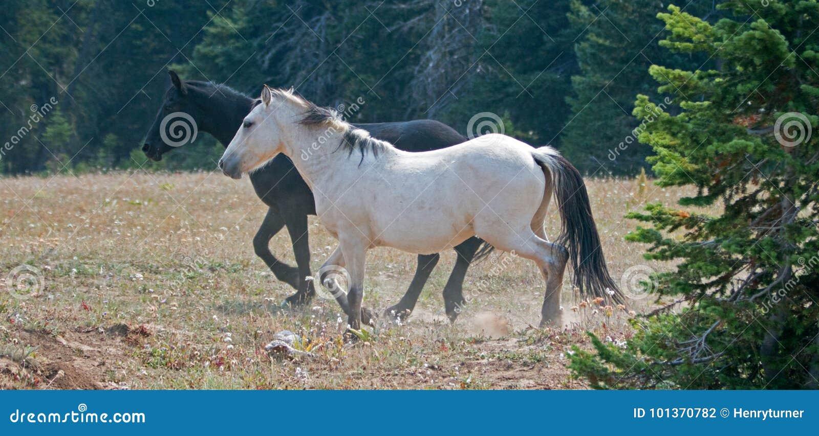 Apricot Dun White Buckskin Stallion And Black Stallion Wild Horses Running In The Pryor Mountains Wild Horse Range In Montana Usa Stock Photo Image Of Caballus Dust 101370782