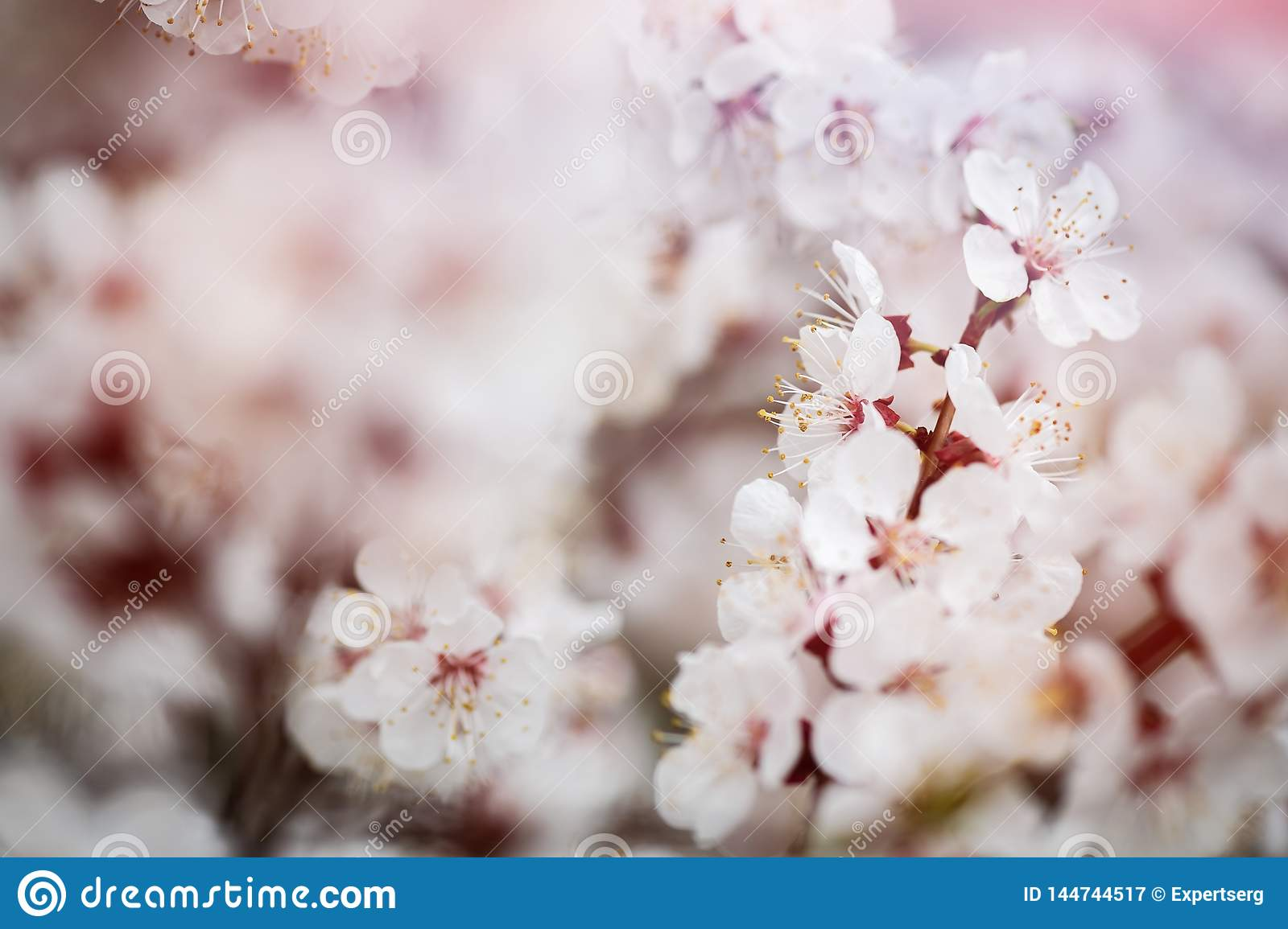 Apricot flower spring nature close up macro