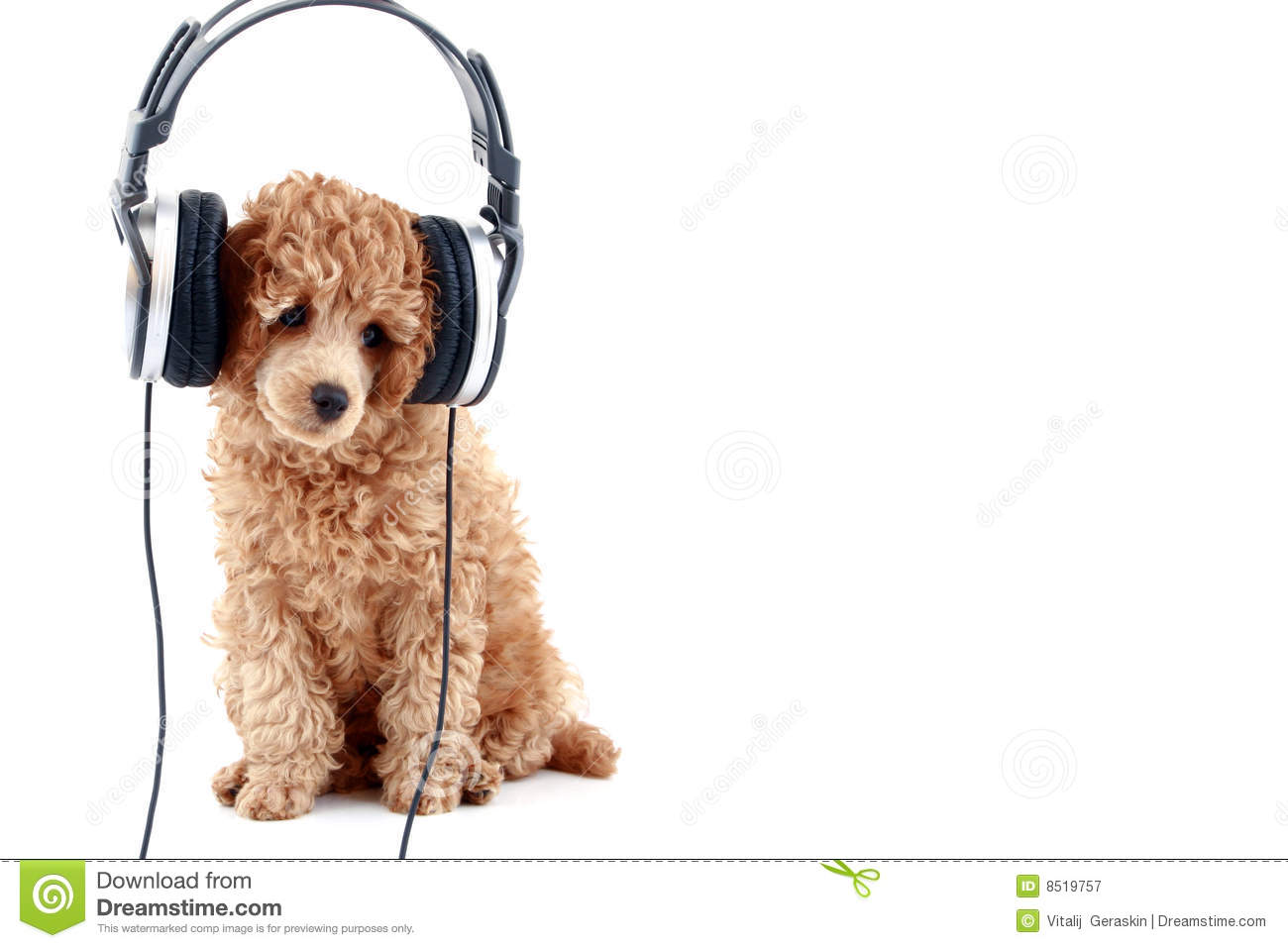 Apricot poodle listening music