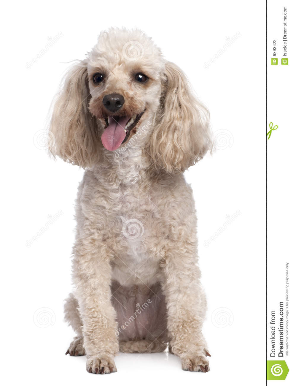 Apricot Poodle Panting 5 Years Old Stock Photo Image