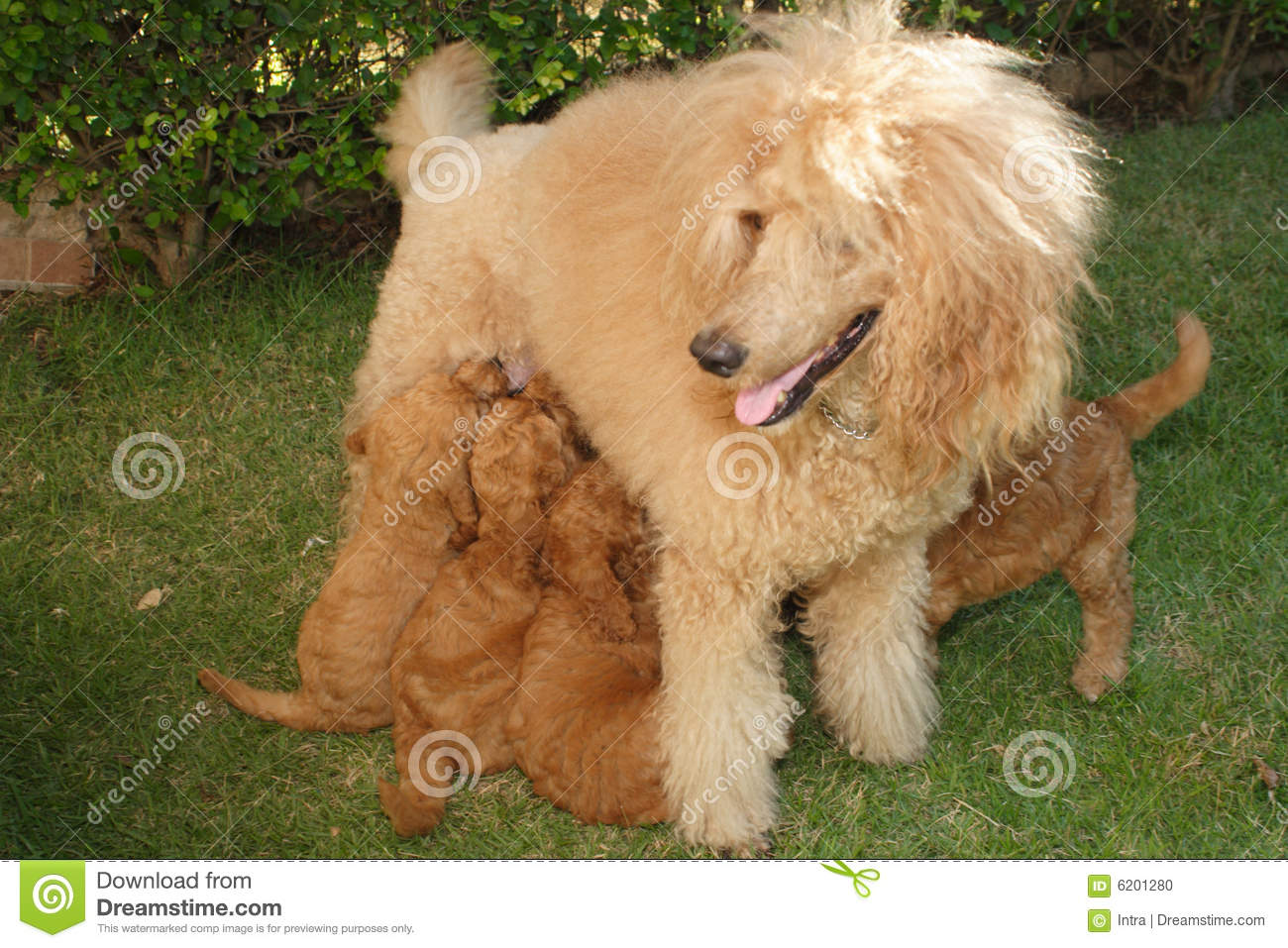 Apricot poodle with puppies