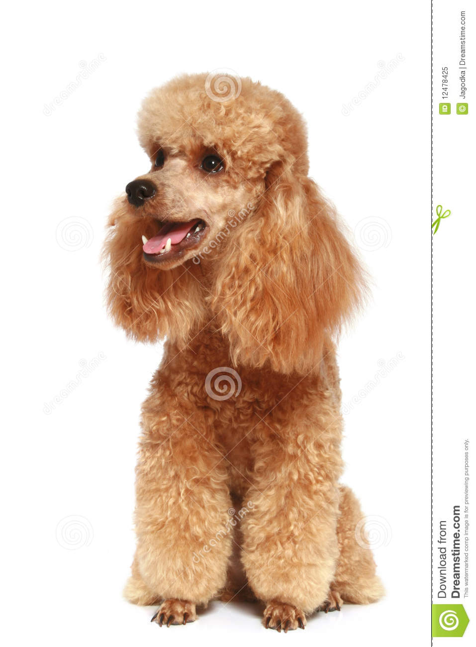 Apricot poodle puppy (1year)
