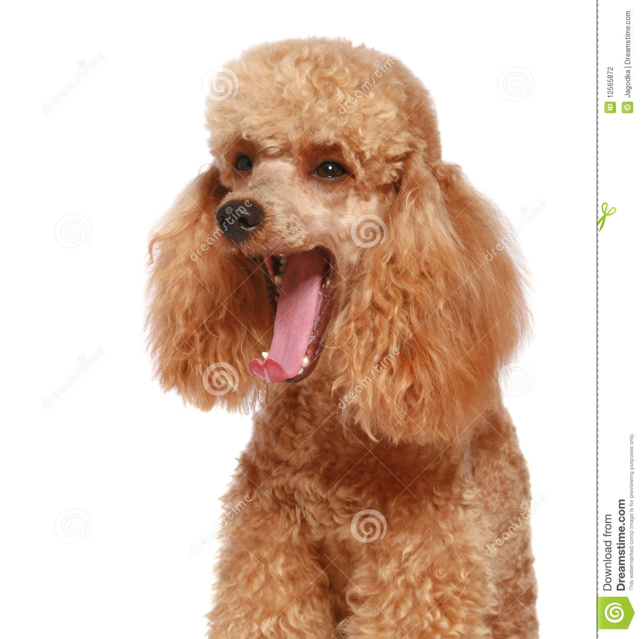 Apricot Poodle Puppy (1year) Stock Photography - Image: 12565872