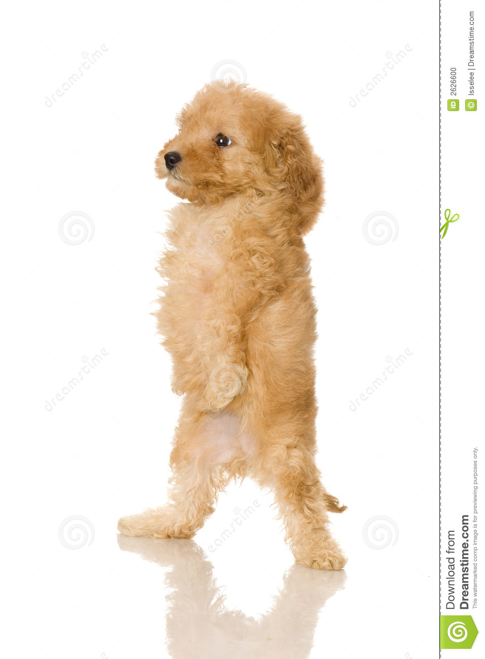 Watch further Stock Photo Yorkshire Terrier Dog Fancy Clothes Image23747500 as well 518054763363402982 together with 26697 Red Toy Poodle Dog And Ragdoll Cross Kitten as well Ruby The Silky Terrier 2010 12 05. on cute poodles