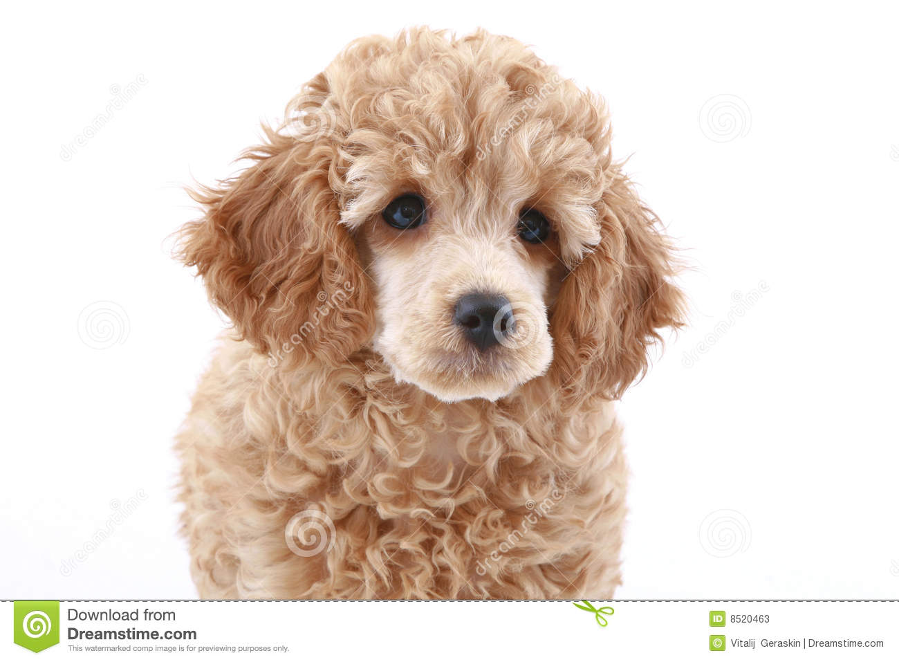 Apricot poodle puppy (series)