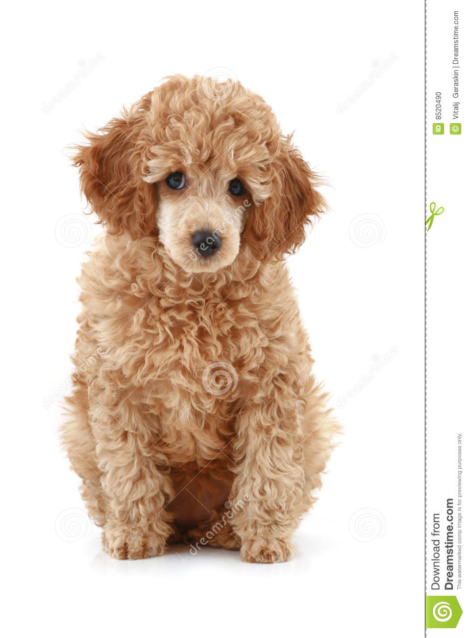 Apricot poodle puppy series