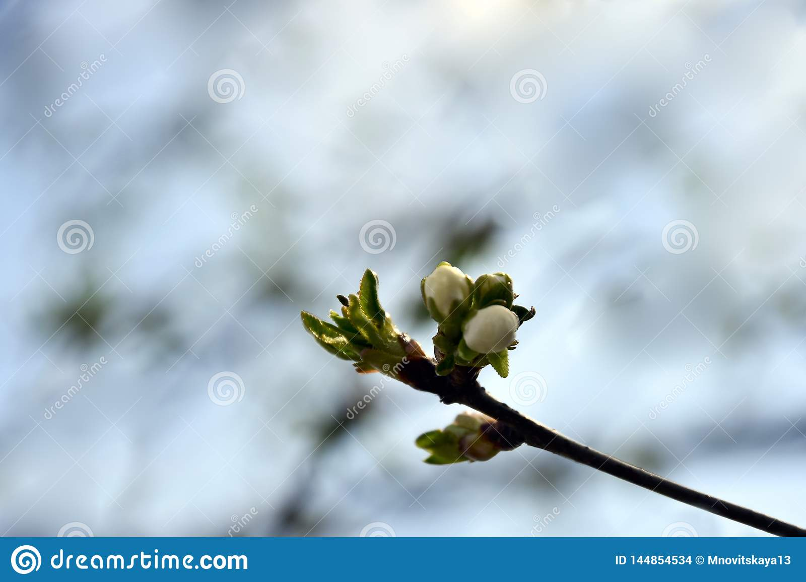 Apricot`s Blooming branch in the garden