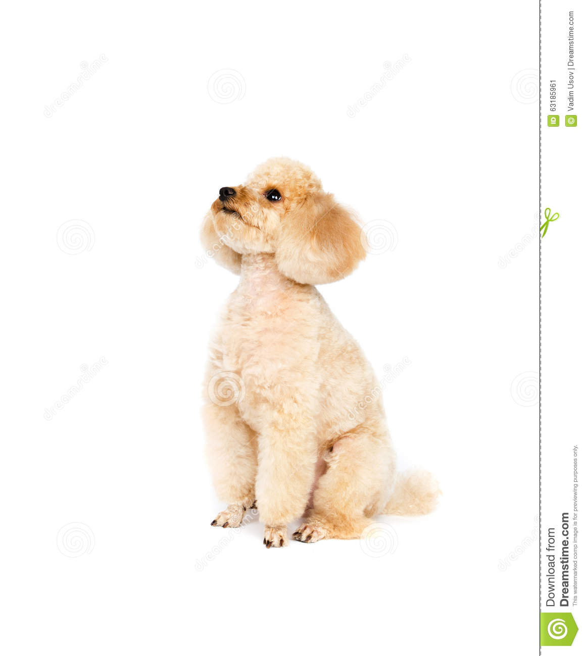 Apricot small poodle sitting on a white background