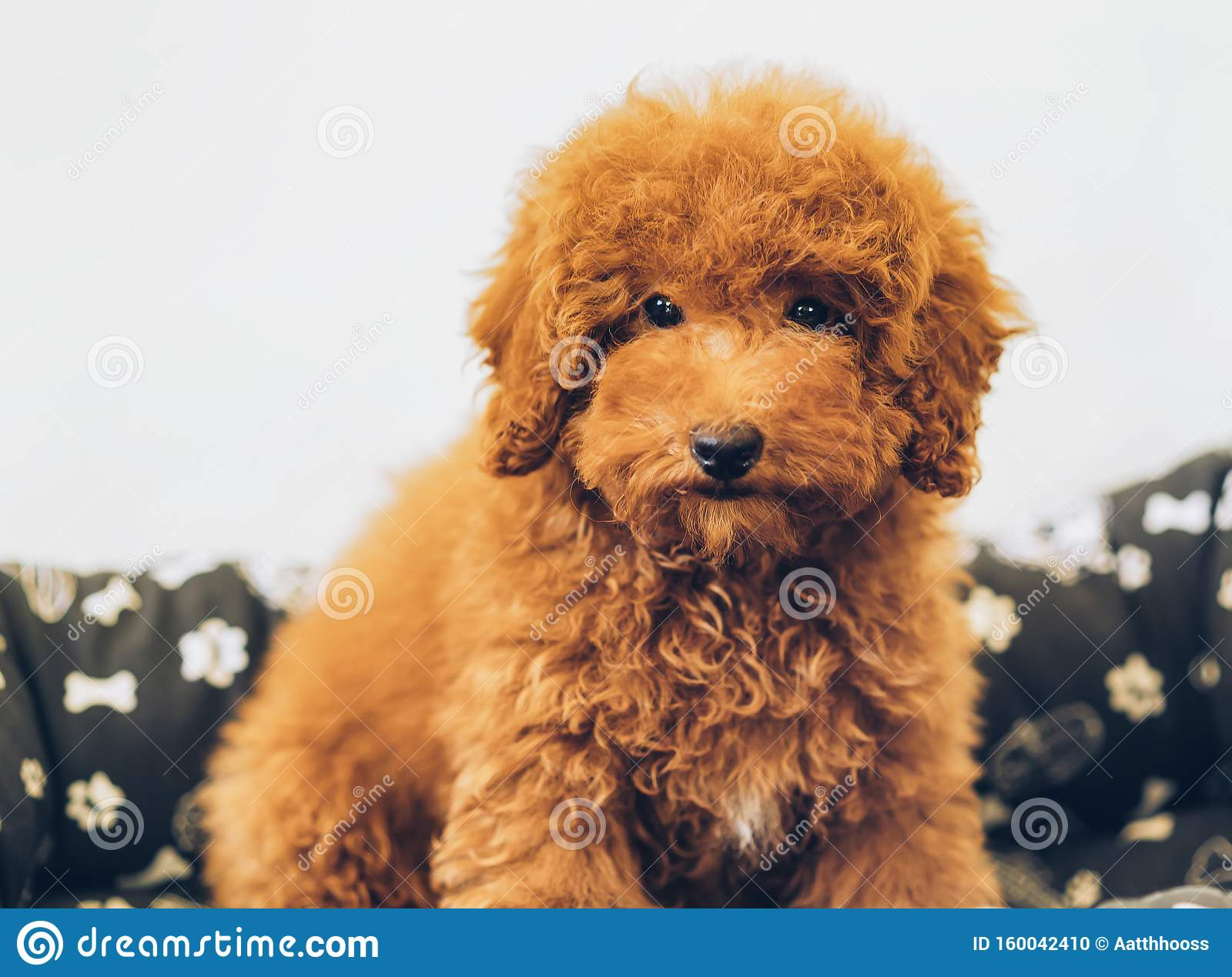 Apricot Toy Poodle Puppy Stock Photo Image Of Groomed 160042410