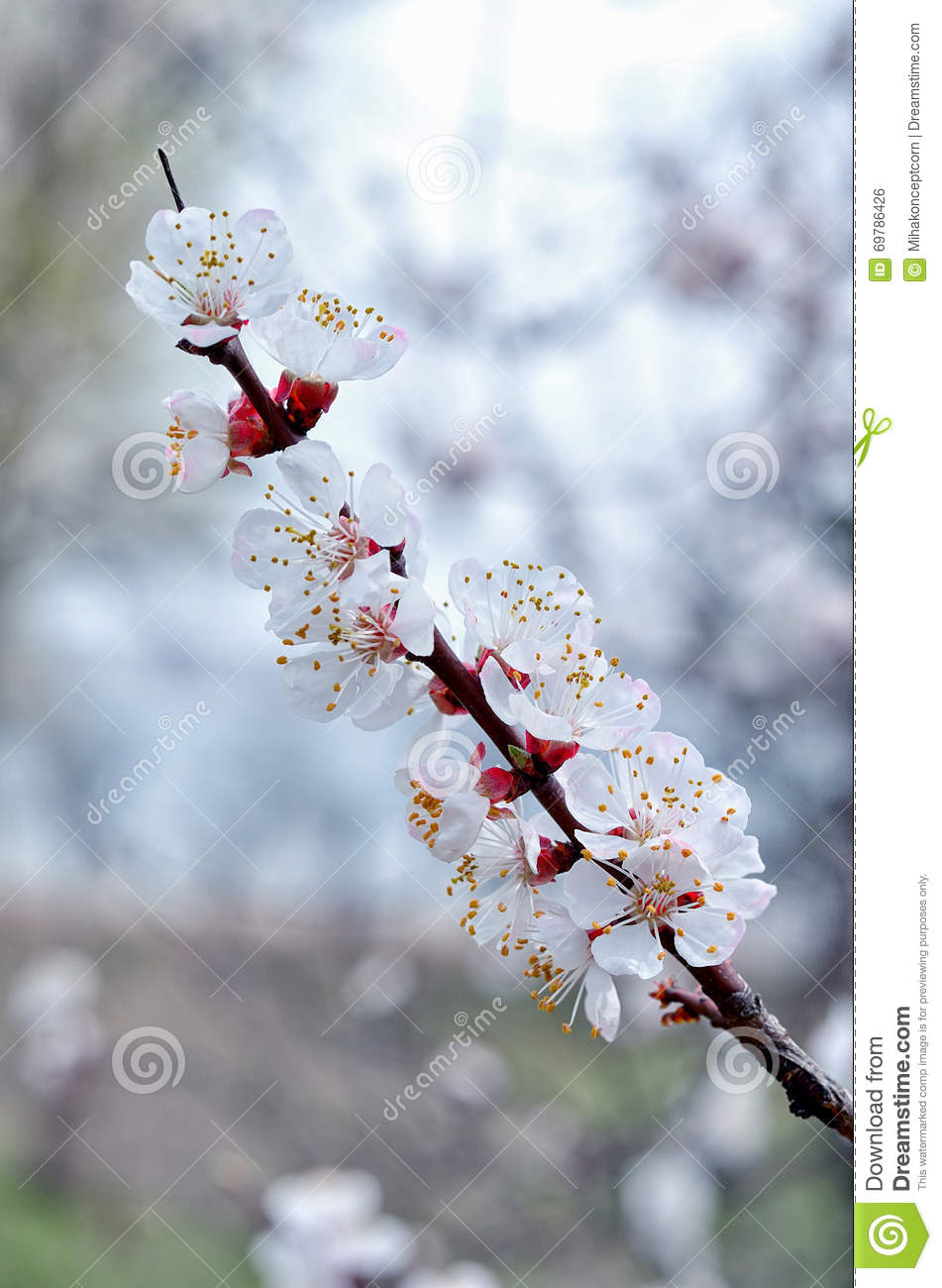 Apricot Tree Branch With White Flowers Stock Photo Image Of