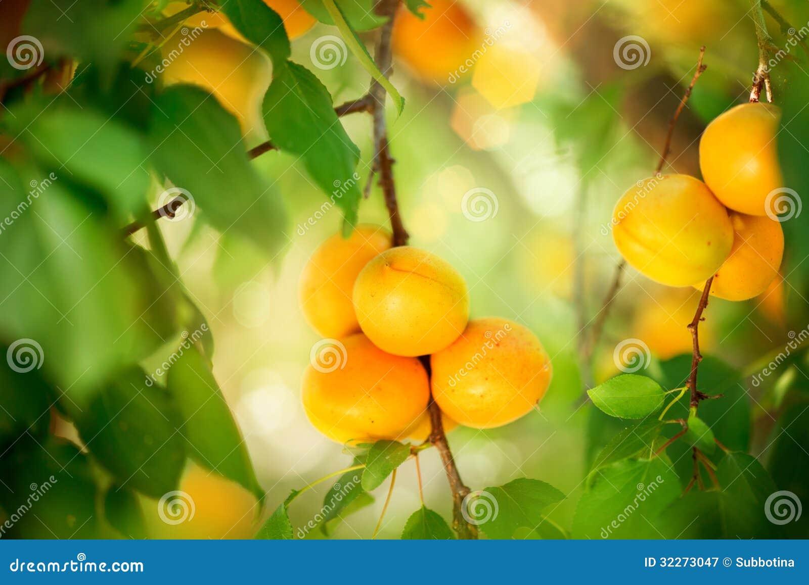 Aprikosen-Wachsen