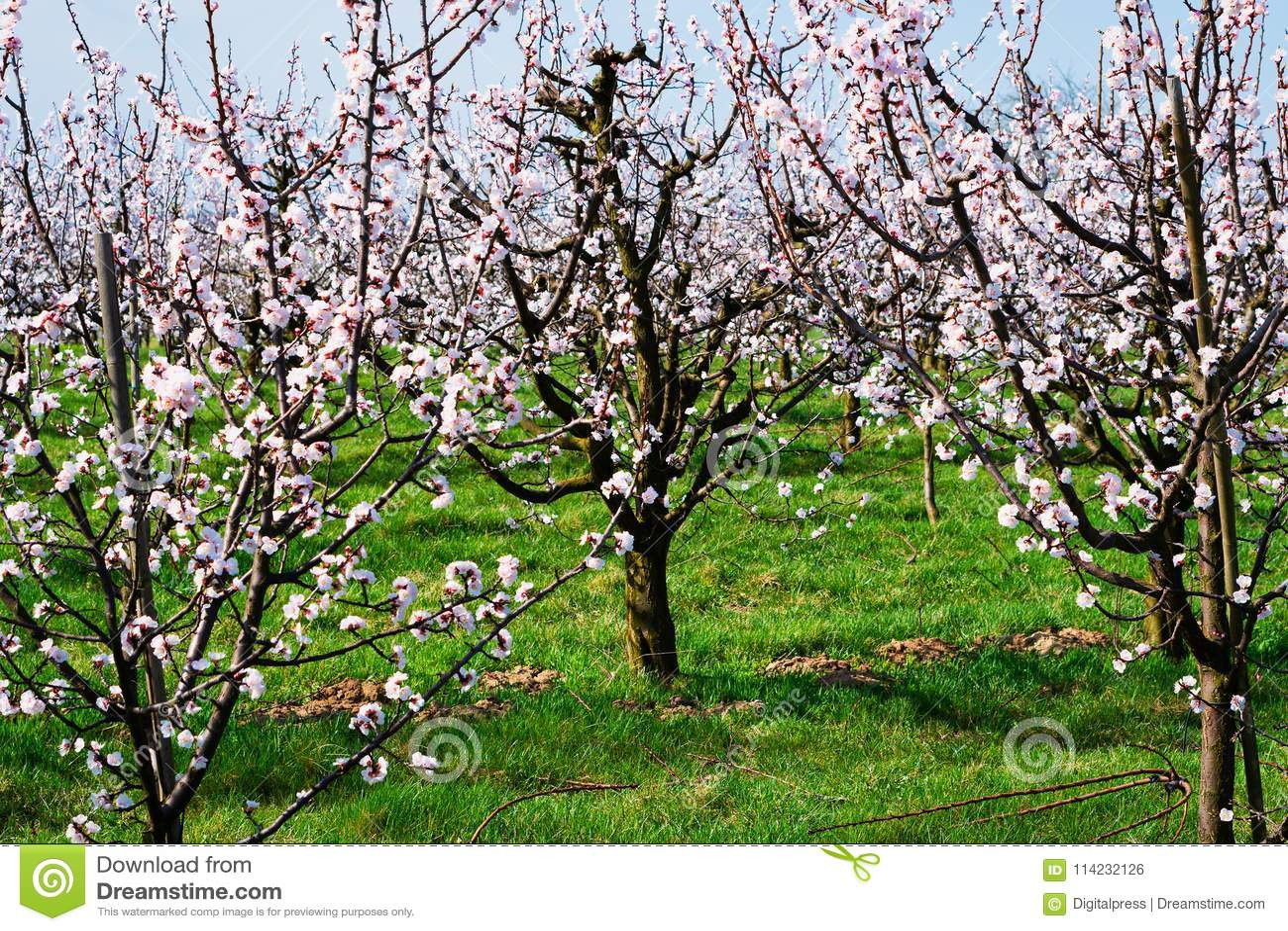 Aprikosenbaum In Der Blüte Stockfoto Bild Von Draußen 114232126