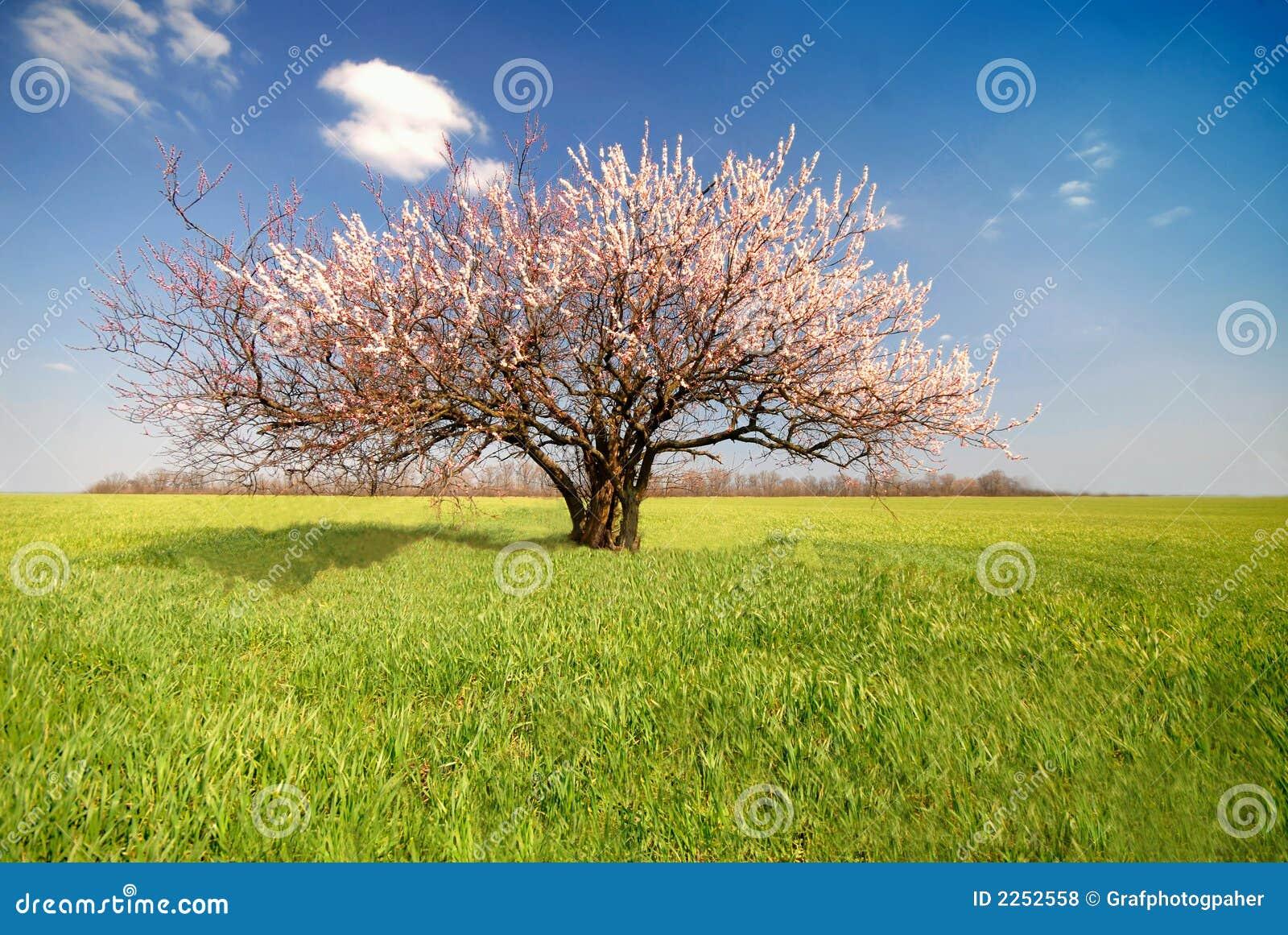 Aprikosenbaum Tag Stockfoto Bild Von Geworden Farbe 2252558