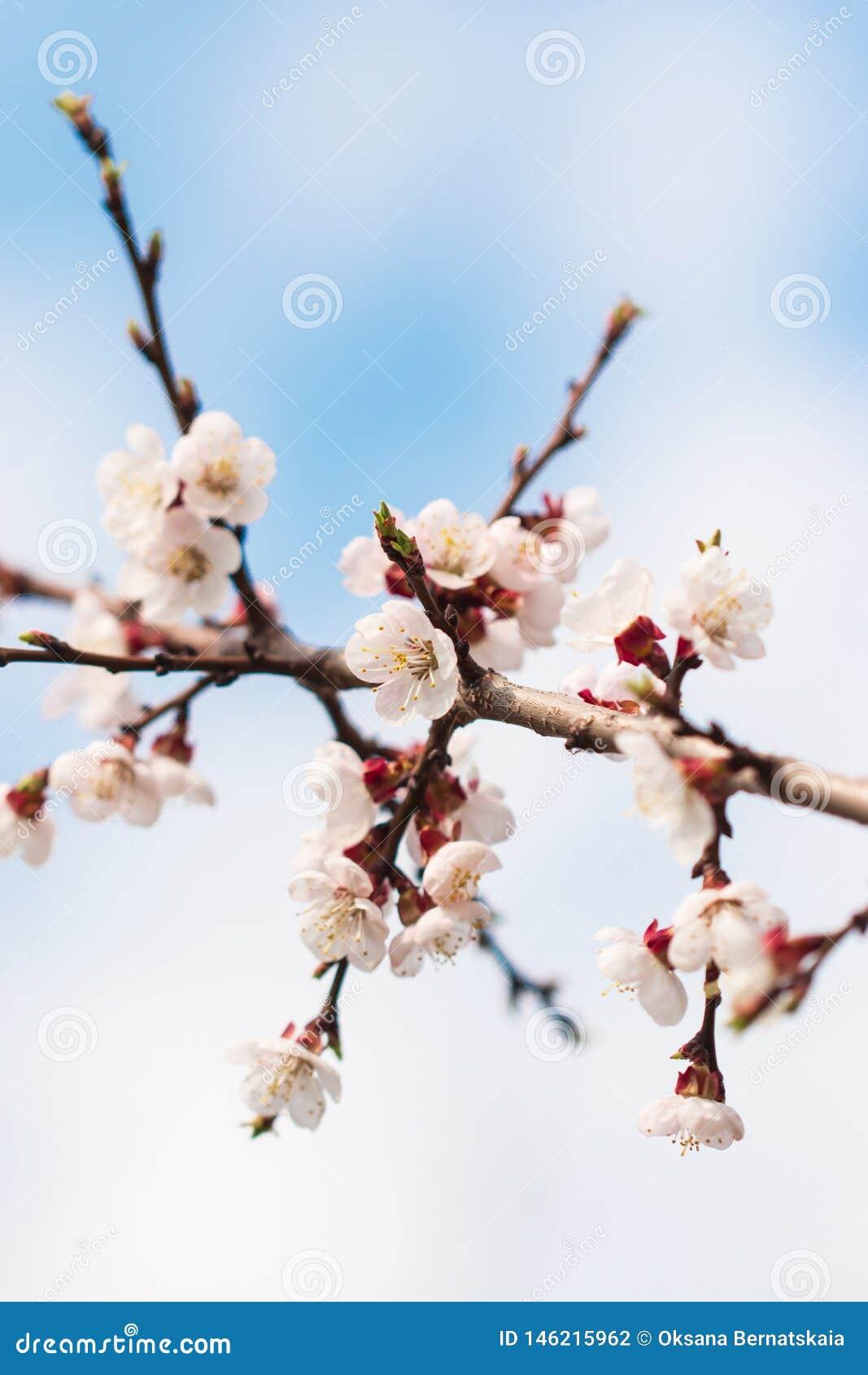Aprikosenblumen auf einer Niederlassung gegen den Himmel