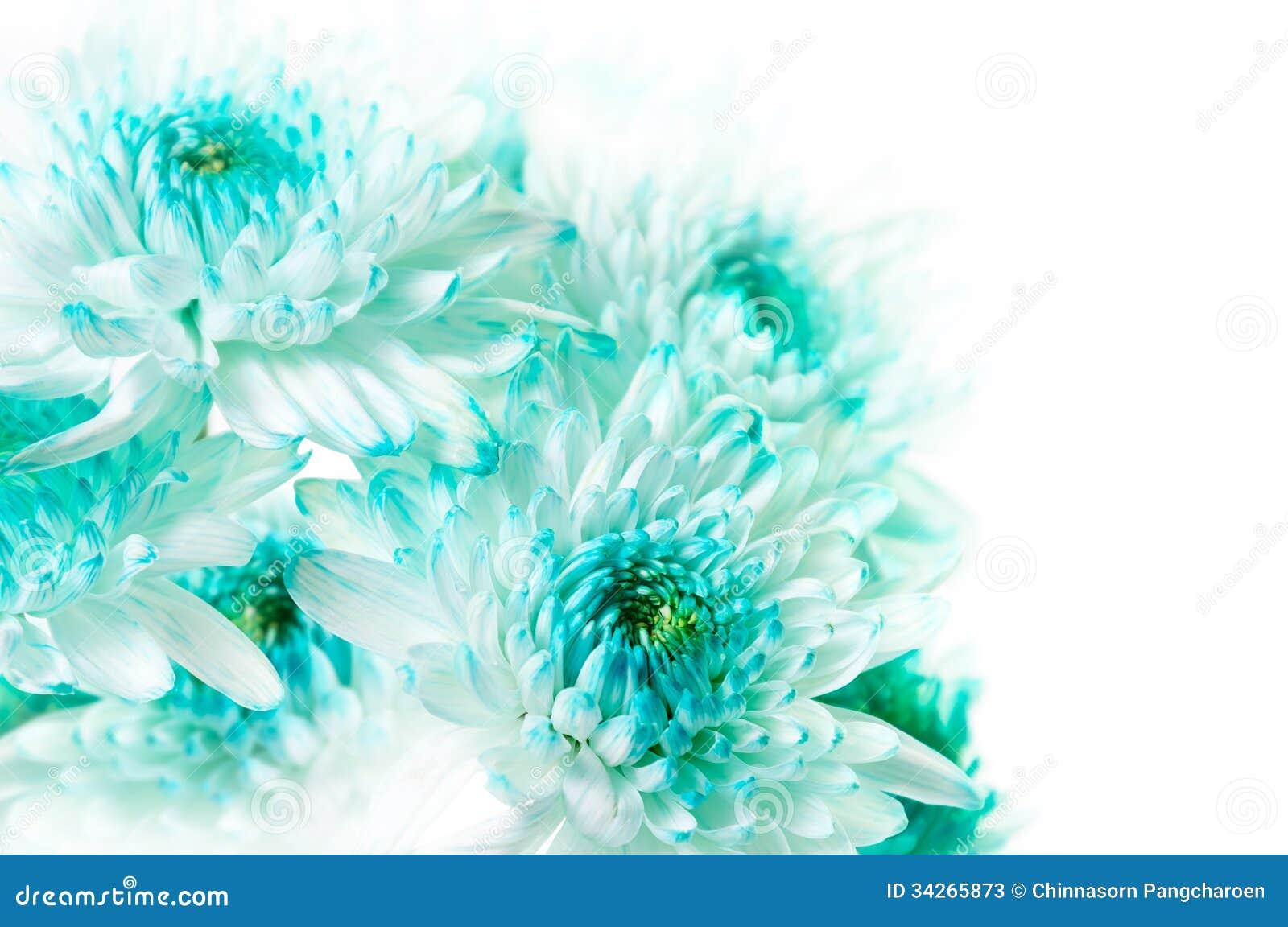 Aqua Dahlia Flowers vibrante