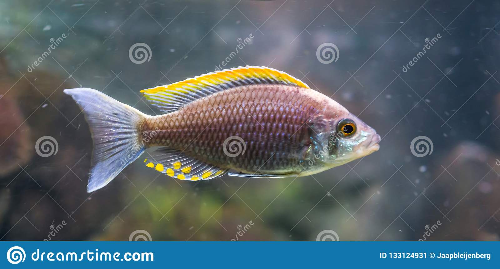Aquaculture a rare fire crest mloto chichlid fish, believed to be extinct in the wild
