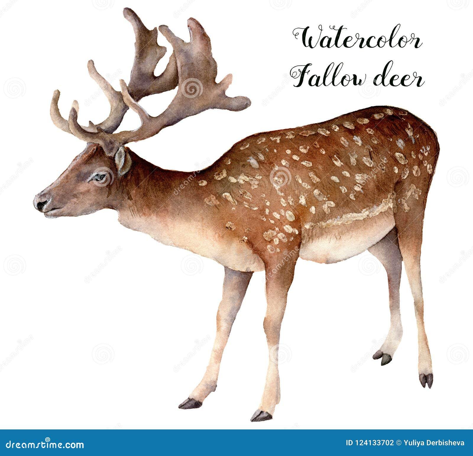 Aquarelldamhirsche Handgemaltes wildes Tier lokalisiert auf weißem Hintergrund Realistische männliche Brache für Design, Druck