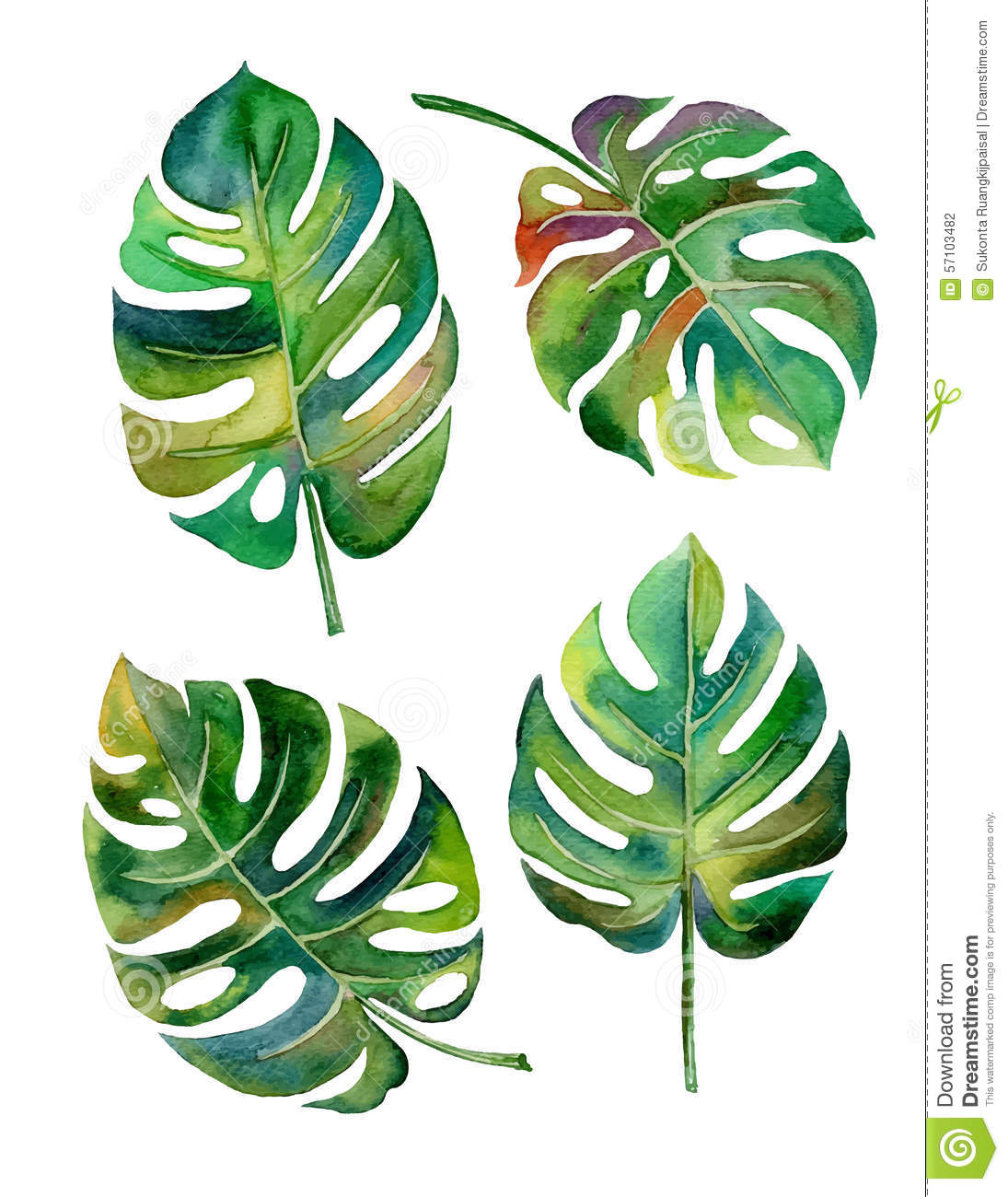 aquarelle fendue de philodendron de feuille sur le vecteur blanc de fond photo stock image. Black Bedroom Furniture Sets. Home Design Ideas