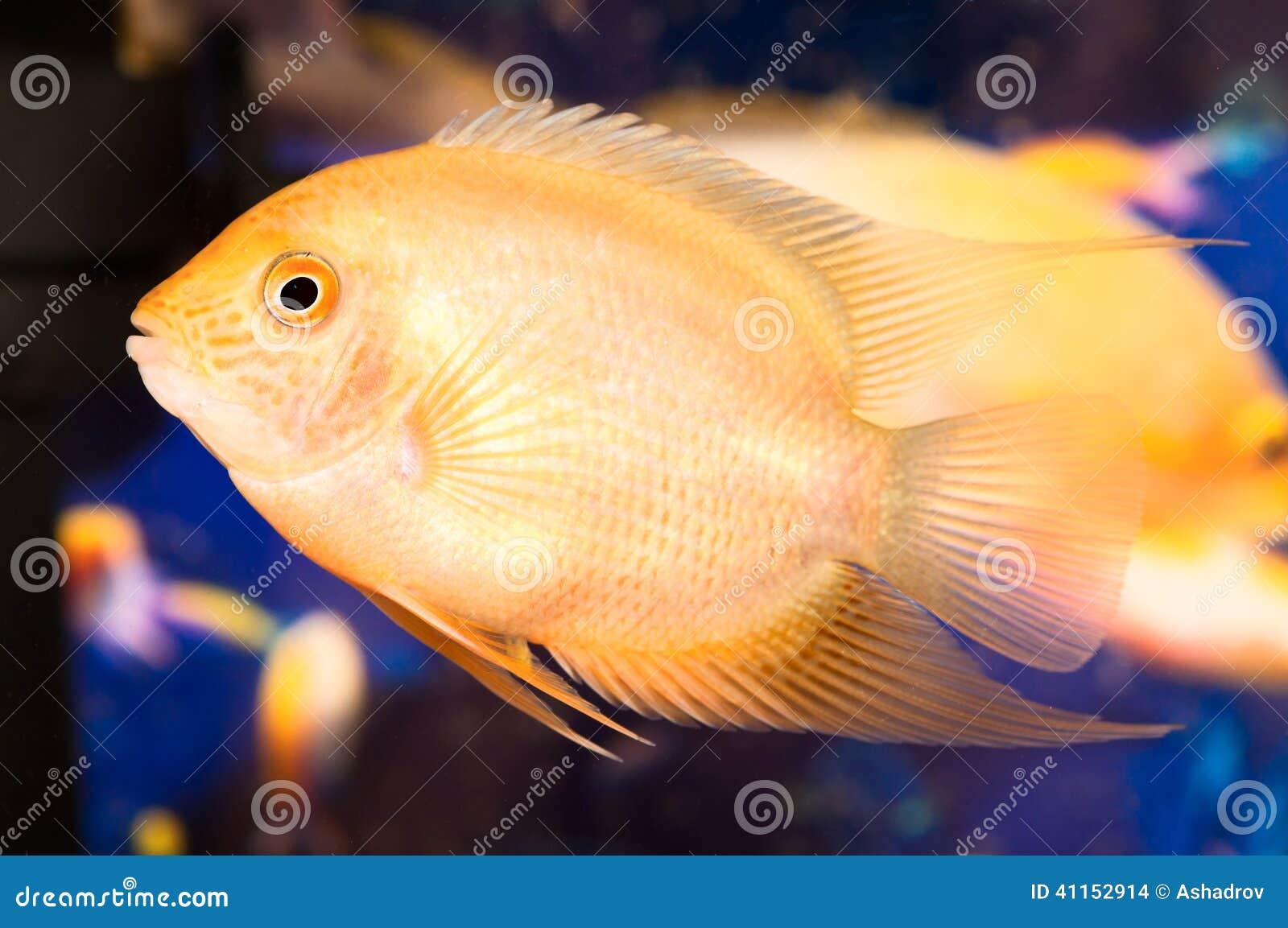 Aquarian Small Fish Stock Photo Image 41152914